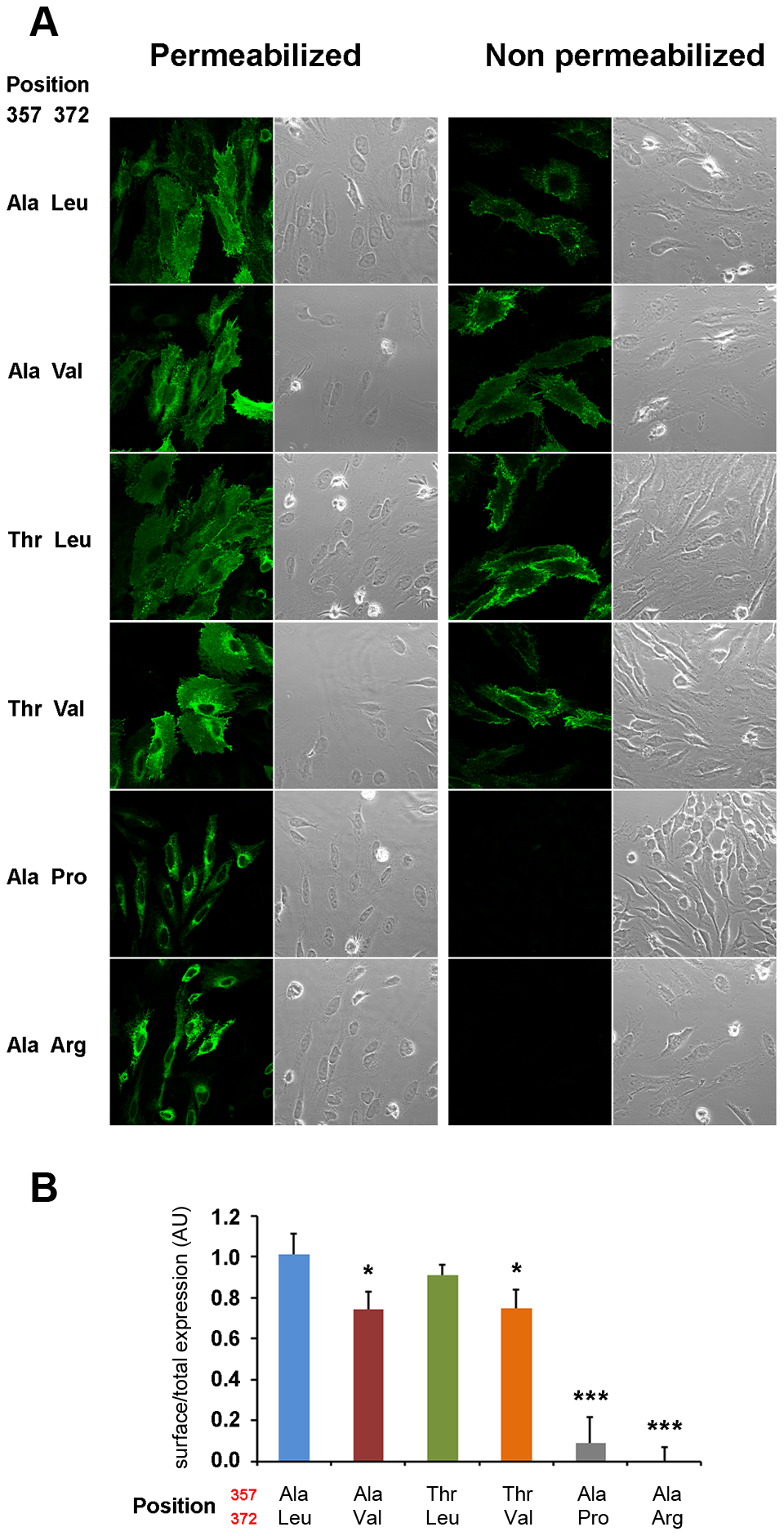 Val372 shows reduced membrane surface expression.