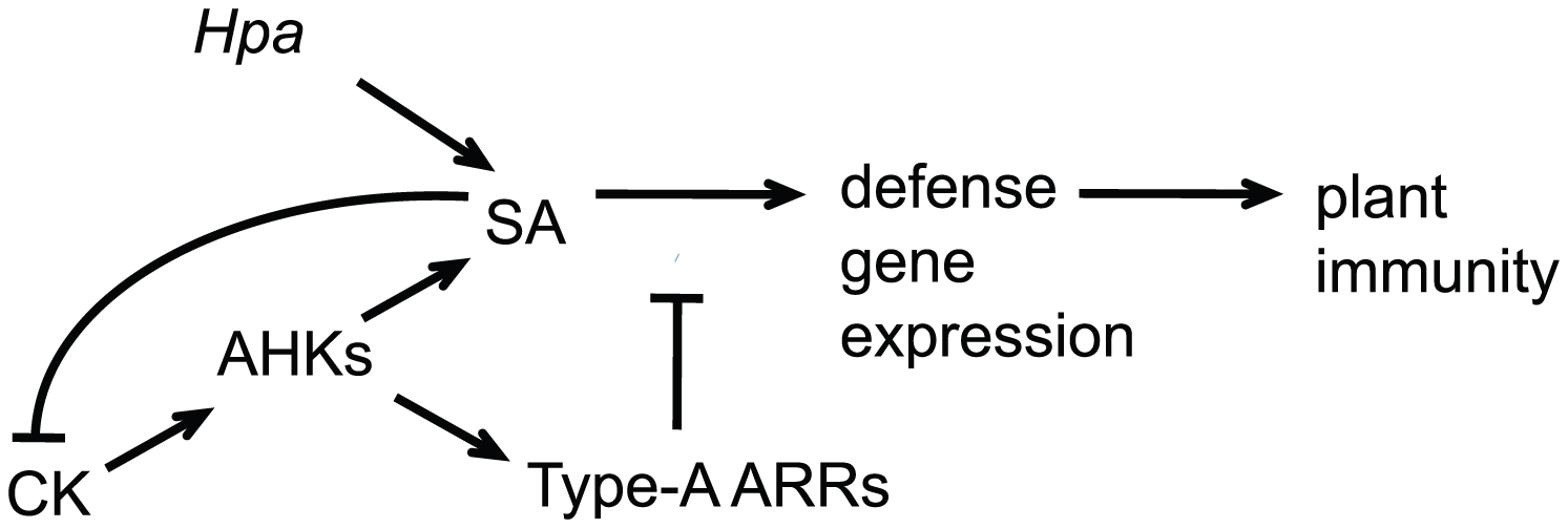 Model for cytokinin and type-A ARRs action in plant immunity.