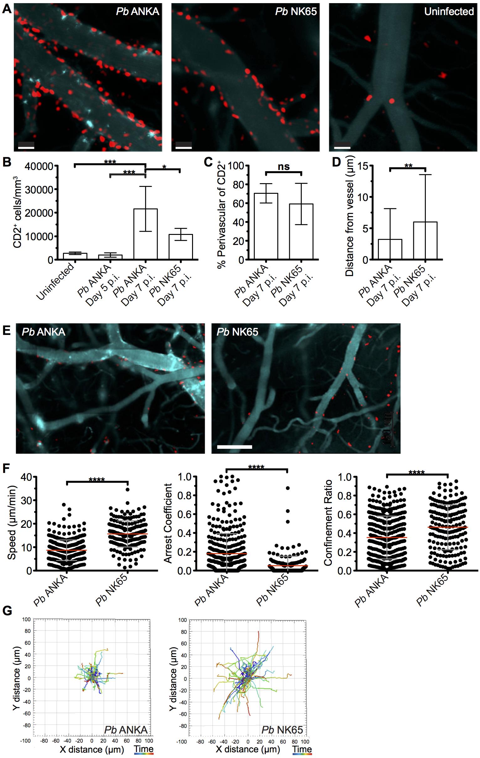 T cells exhibit equivalent perivascular compartmentalisation but distinct behaviours during <i>Pb</i> ANKA and <i>Pb</i> NK65 infections.