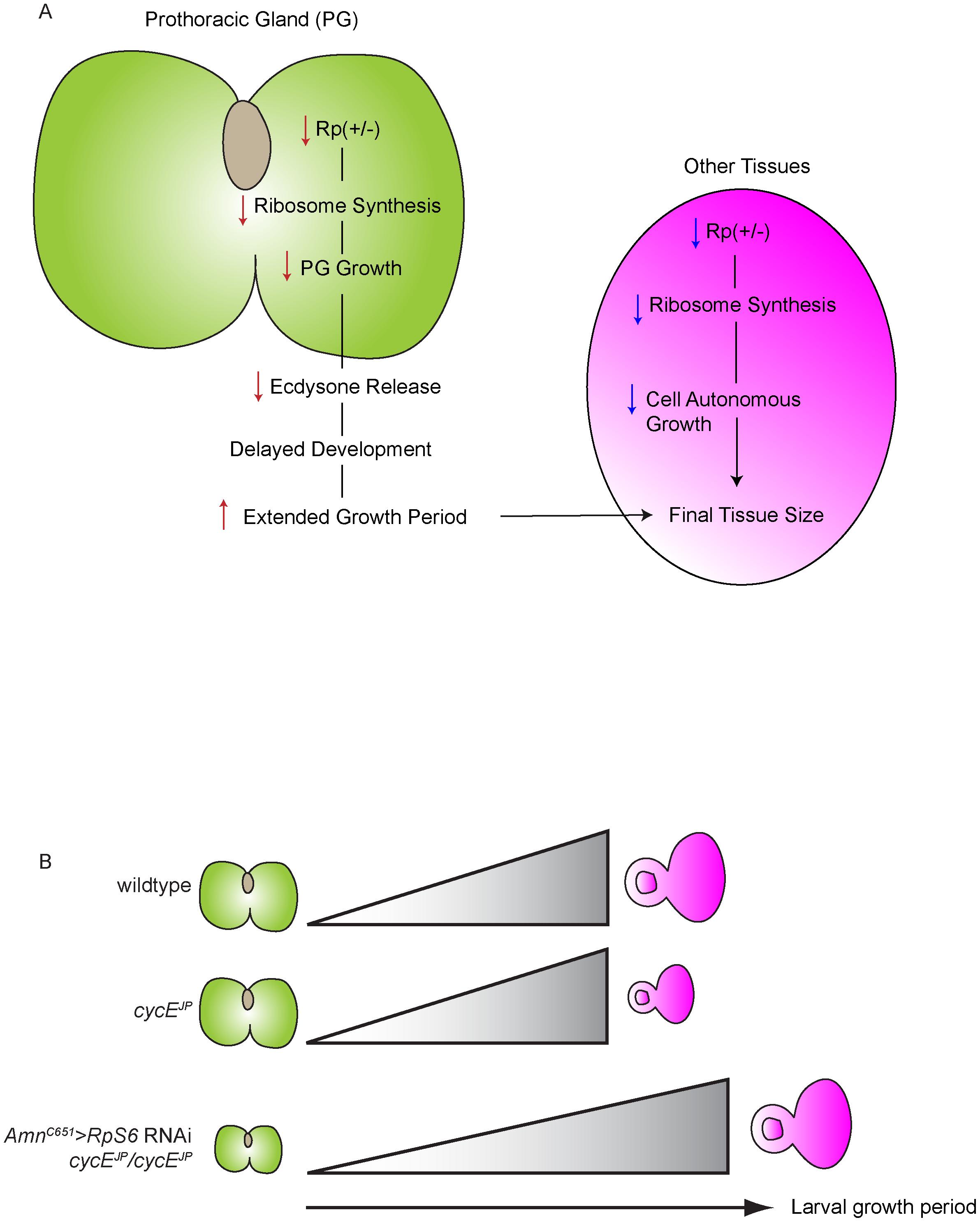 The ecdysone model of <i>cycE<sup>JP</sup></i> suppression and <i>Minute</i> overgrowth phenotype.
