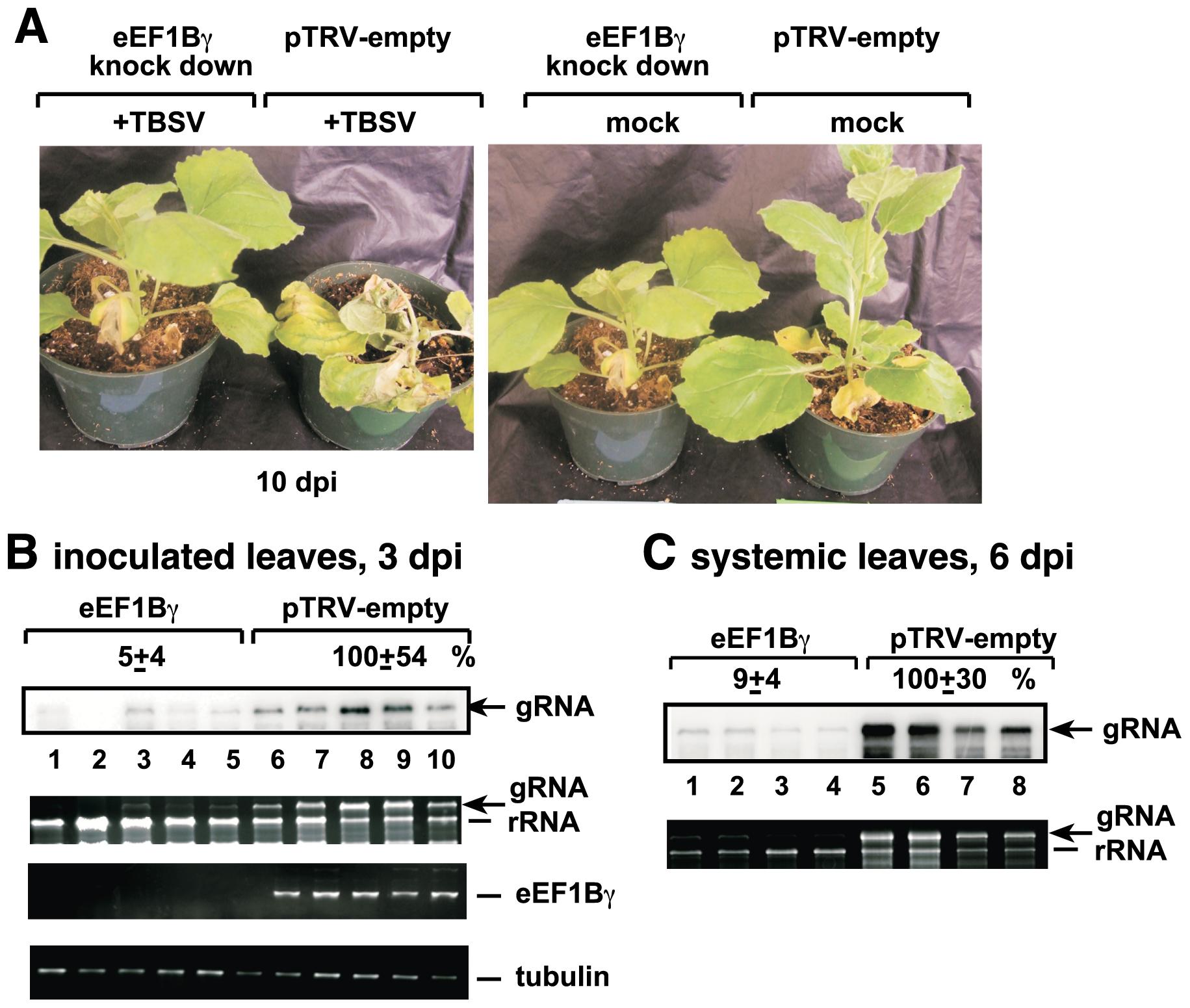 Knockdown of eEF1Bγ inhibits TBSV RNA replication in <i>N. benthamiana</i> plants.