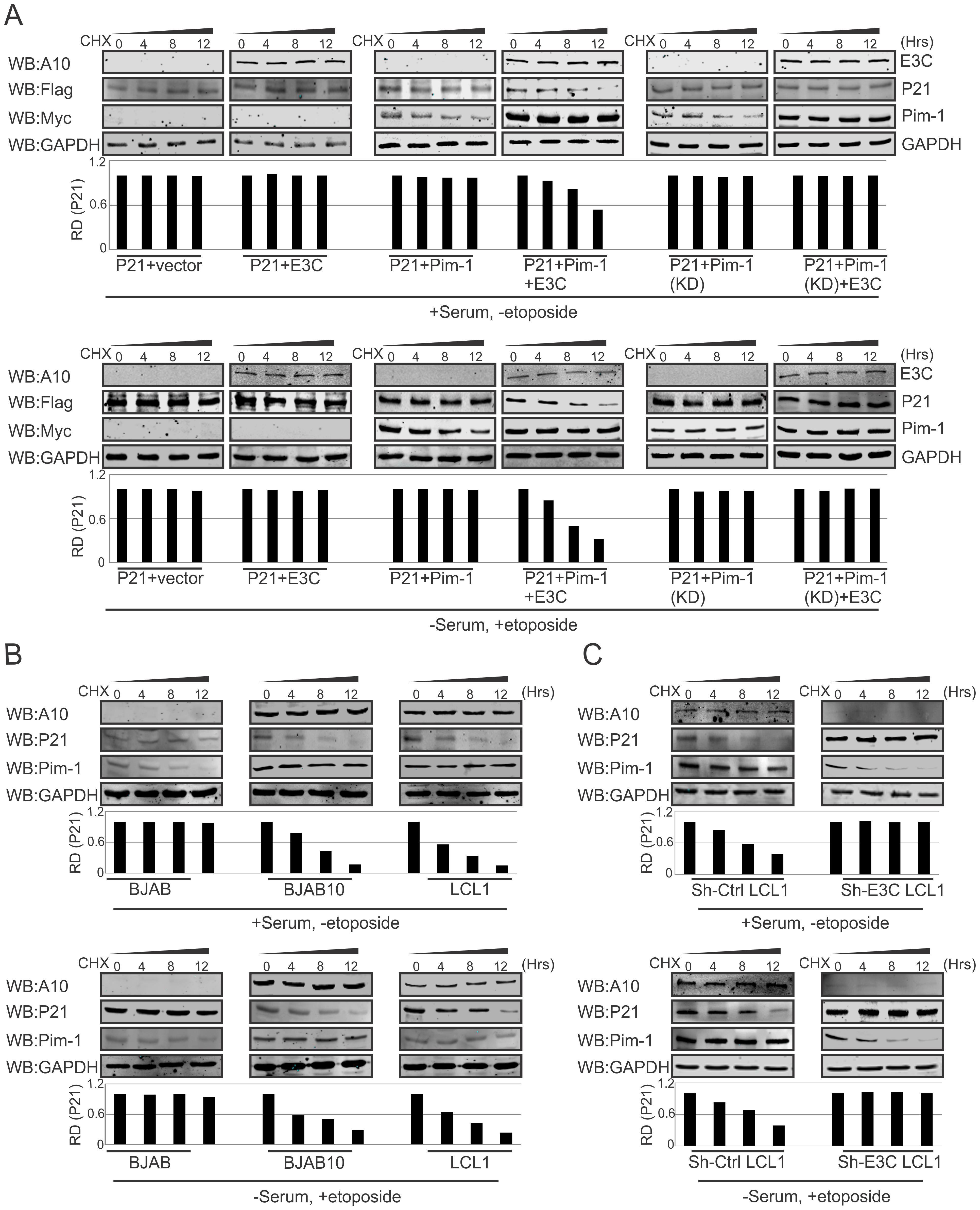 EBNA3C destabilizes p21 through Pim-1 independent of the DNA damage response.