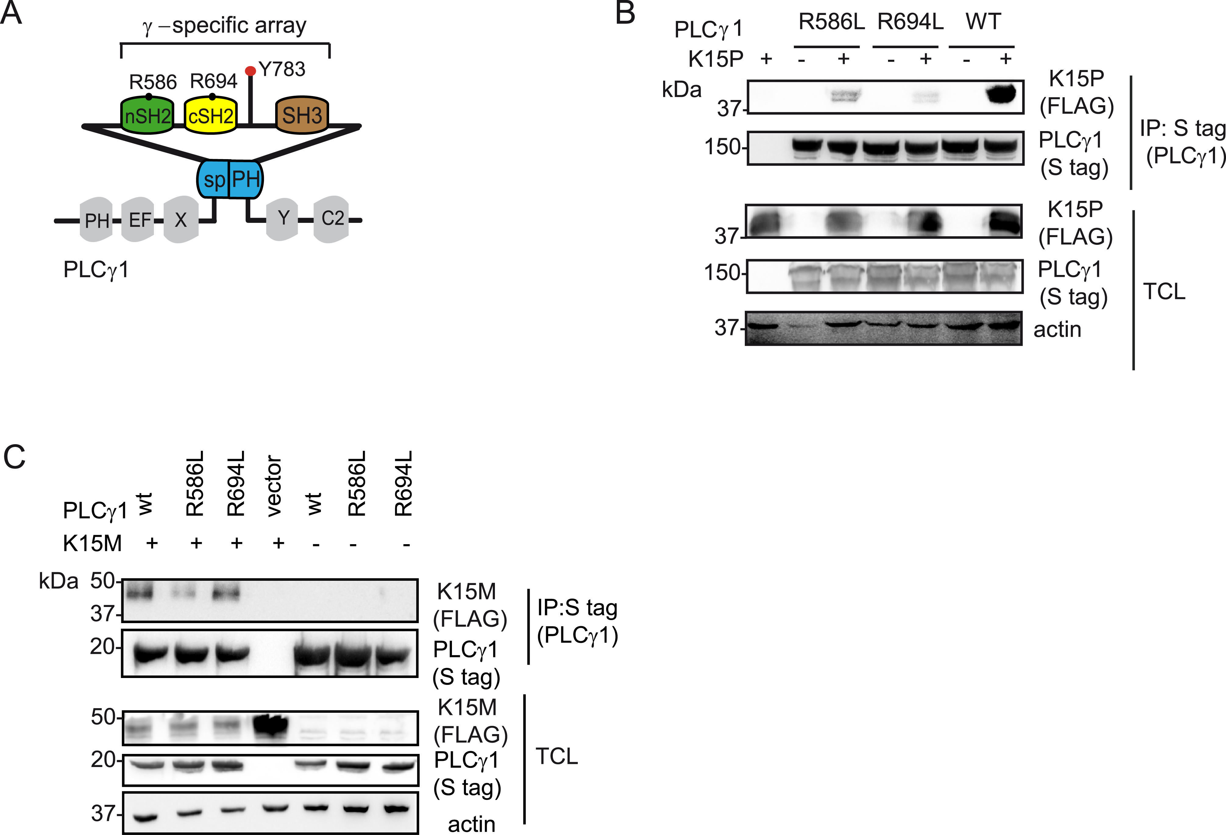 PLCγ1 SH2 domains are important for the binding to K15P and M.