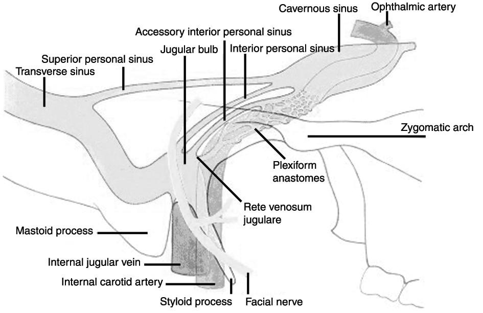 Vztah esovitého splavu k žilnímu systému hlavy a krku (a s tím spojené možnosti šíření trombózy).