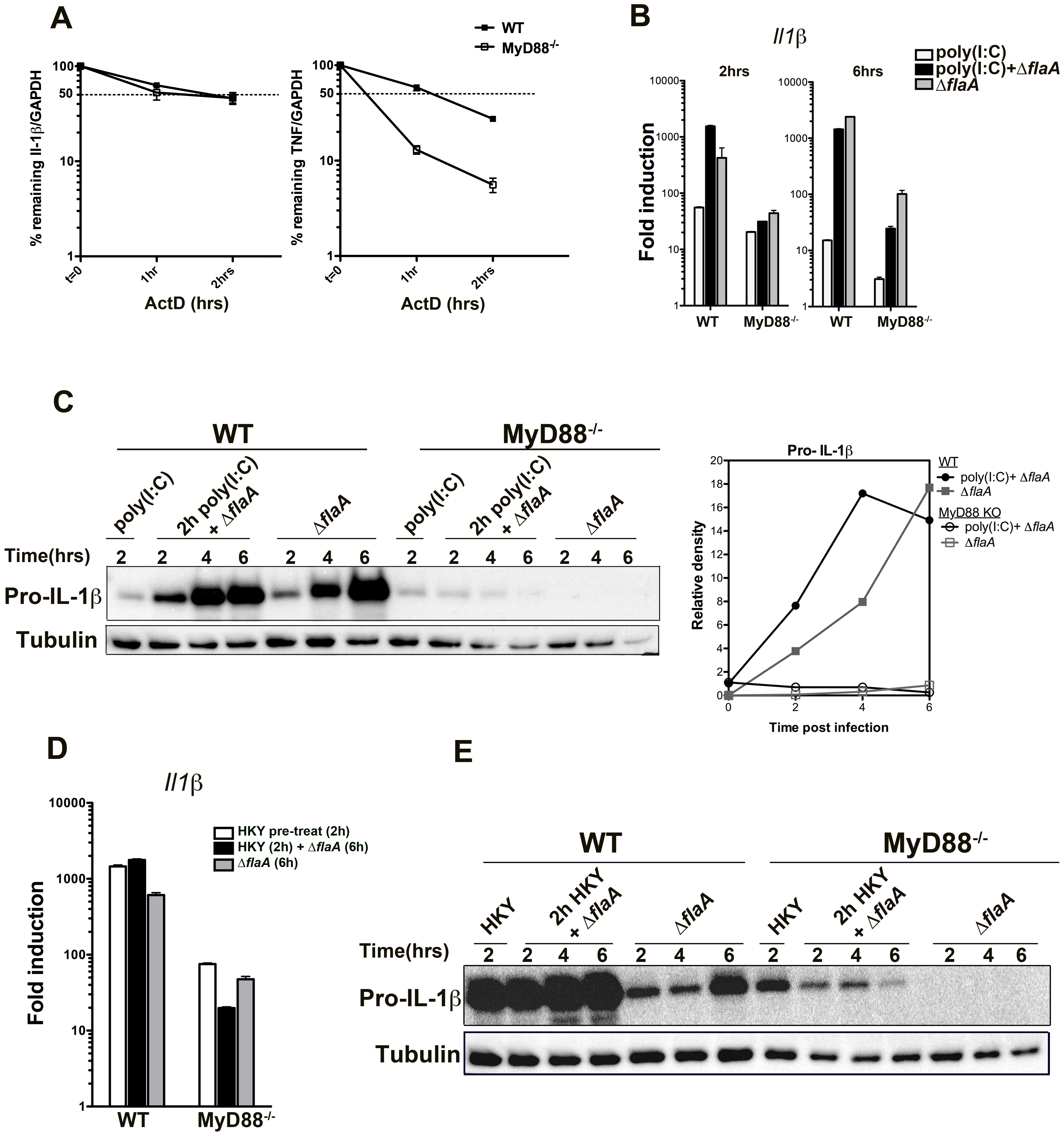 Stability of Il-1β mRNA or pre-activation of the NF-kB pathway is not sufficient to induce translation bypass in MyD88<sup>−/−</sup> macrophages.
