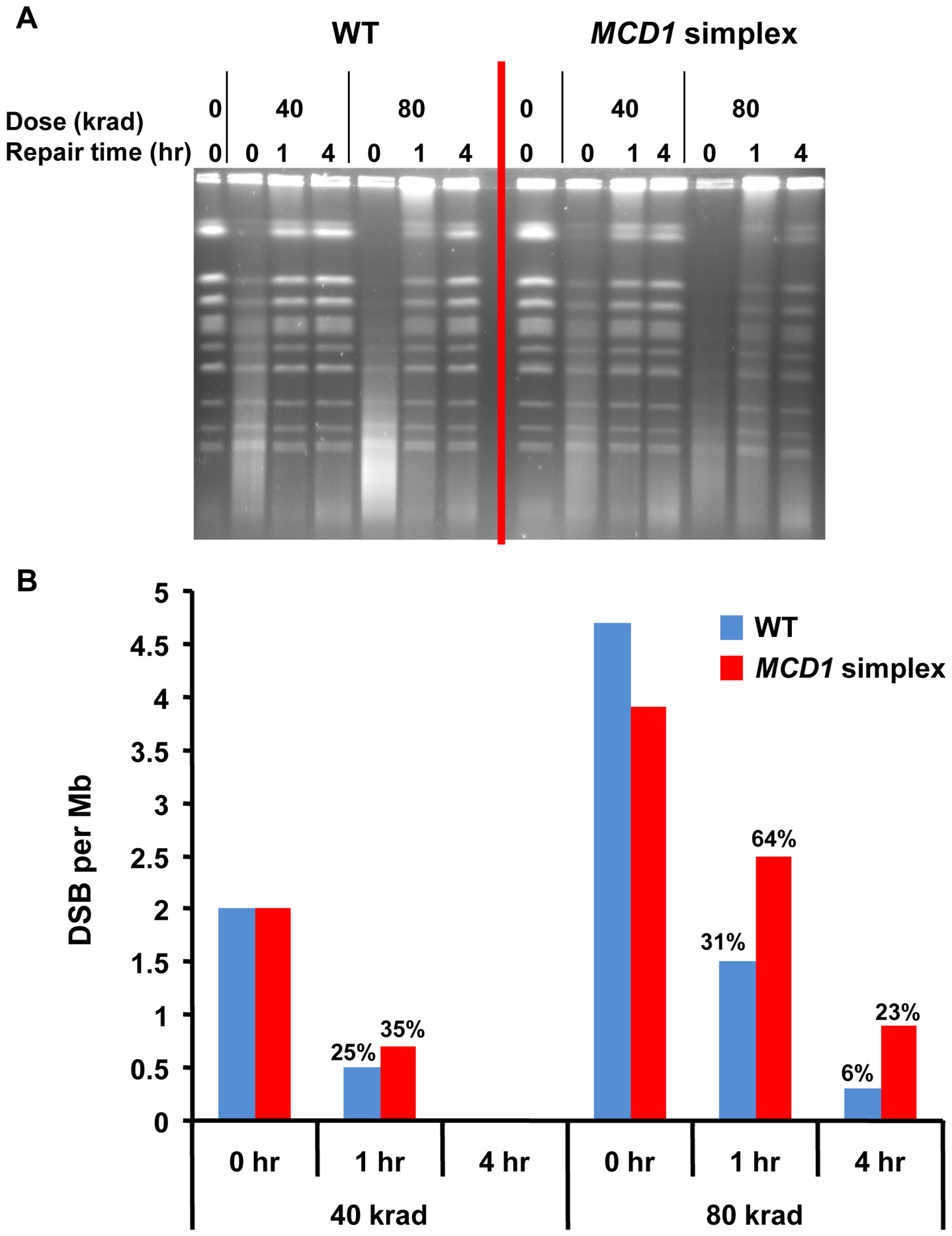 DSBs are repaired slowly in <i>MCD1</i> simplex as compared to WT cells.