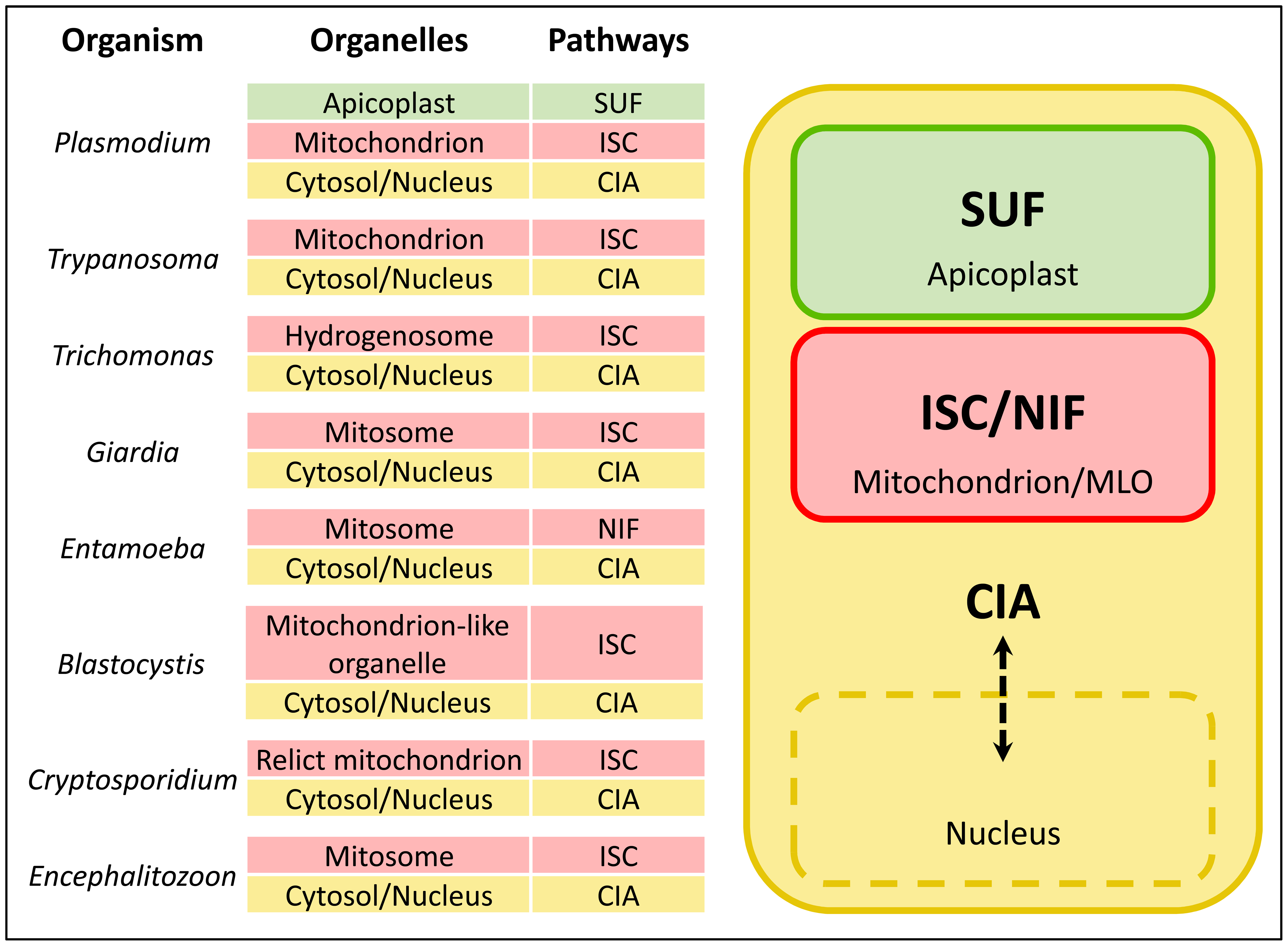 FeS cluster biogenesis pathways in eukaryotic pathogens.