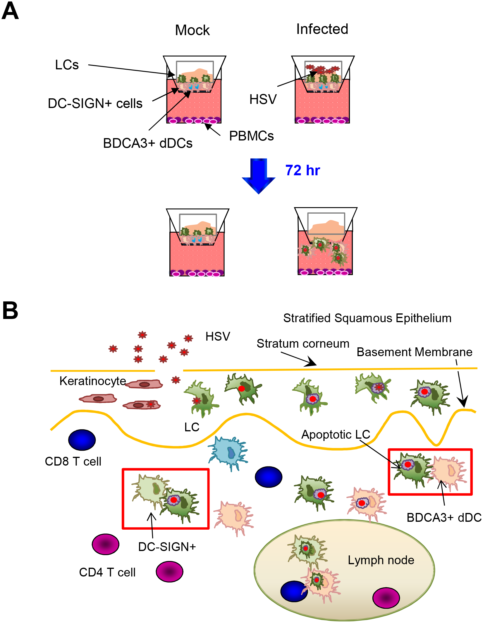 Migration and/or interaction of HSV infected human LCs with dermal DCs.