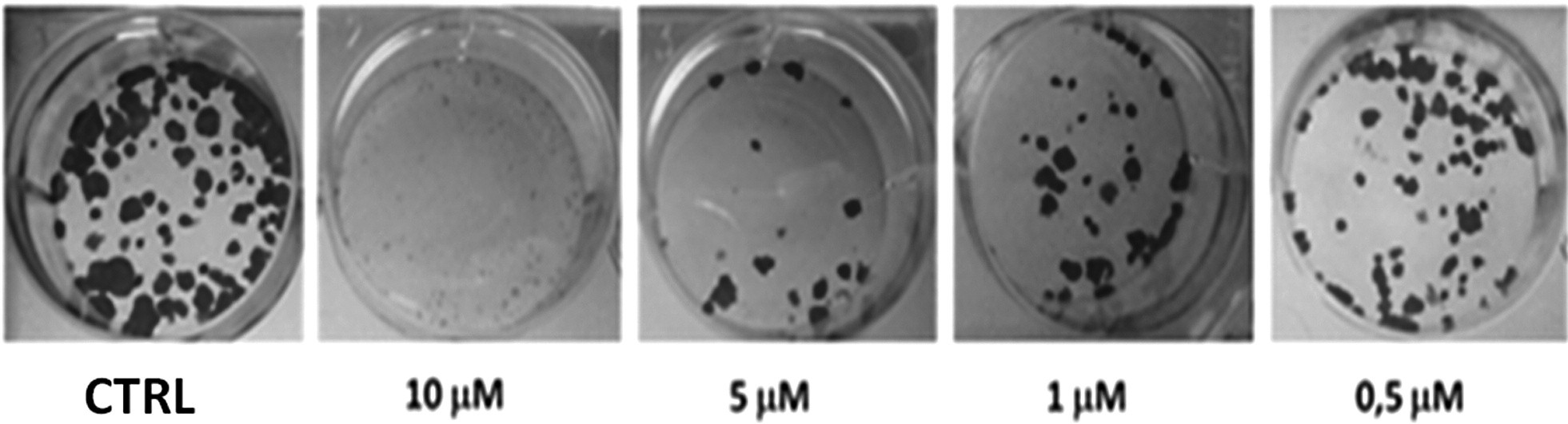Fig. 2. Inhibition of clonogenic growth of Caco-2 cells after10 days incubation with 1-methoxybrassinin (0.5–10 μM)