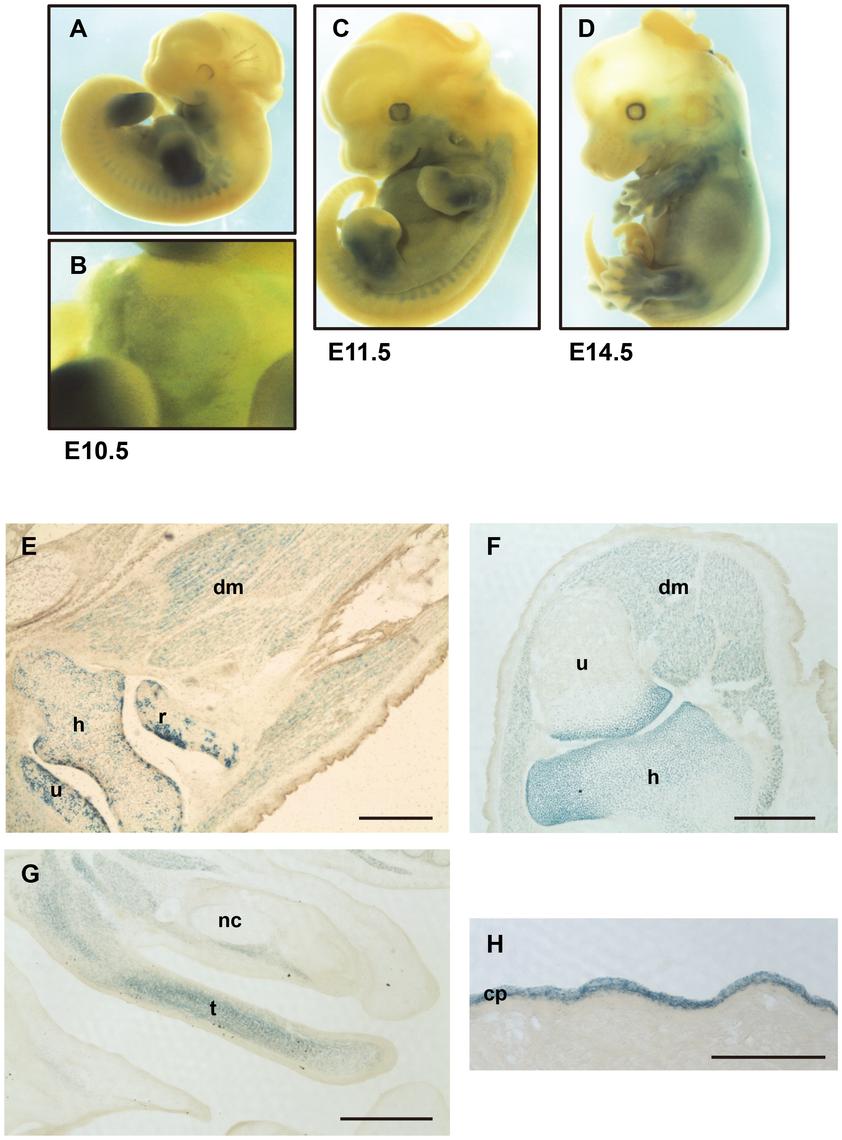 Expression of the <i>Capn6<sup>lacZ</sup></i> allele.