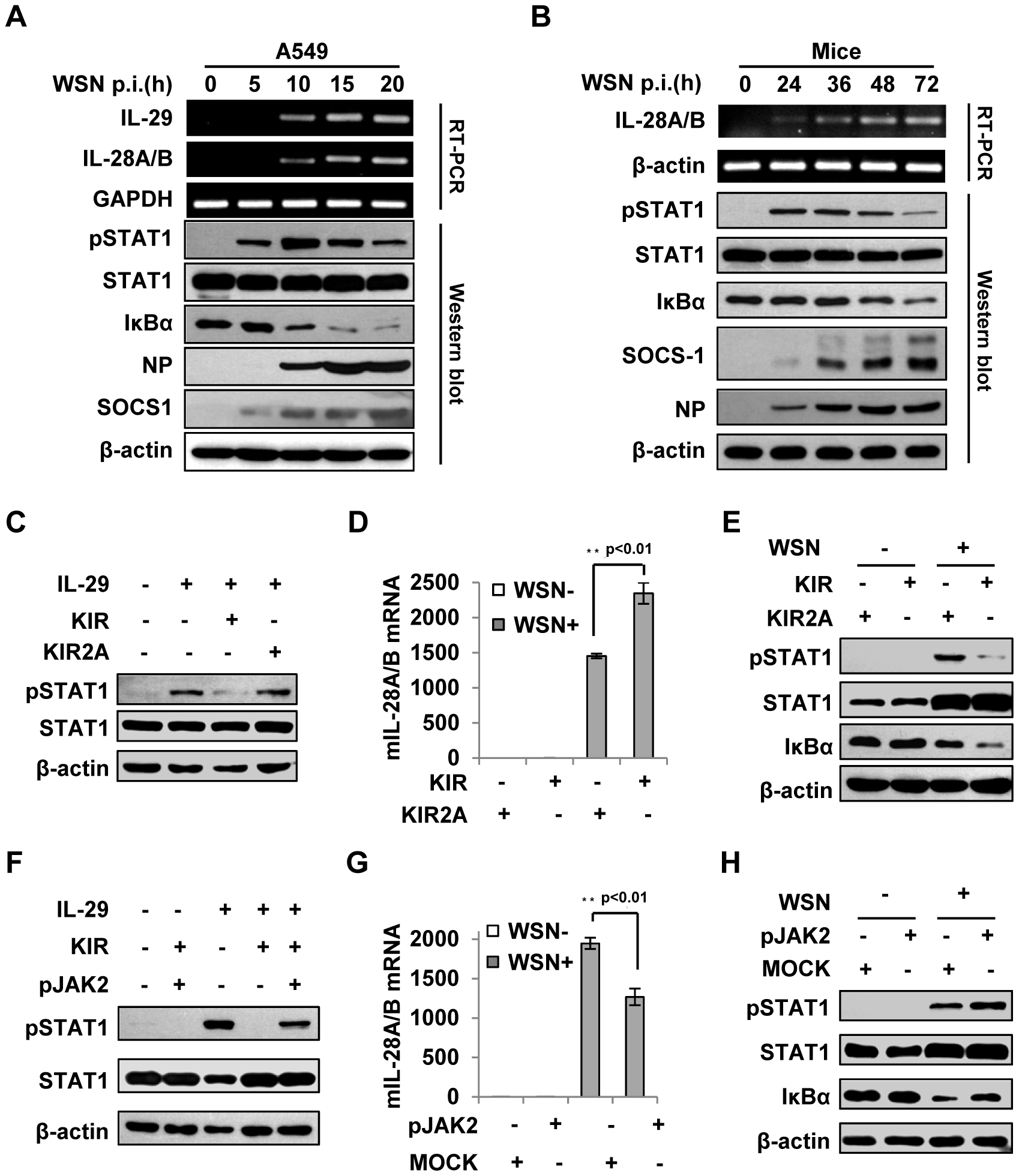 Suppression of cytokine signaling by SOCS-1 contributes to overproduction of IFN-λ in mice.