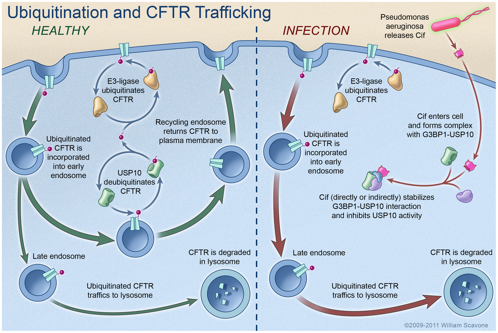 Model proposing a mechanism whereby Cif inhibits USP10 activity and reduces the apical membrane abundance of CFTR in polarized, human airway epithelial cells.