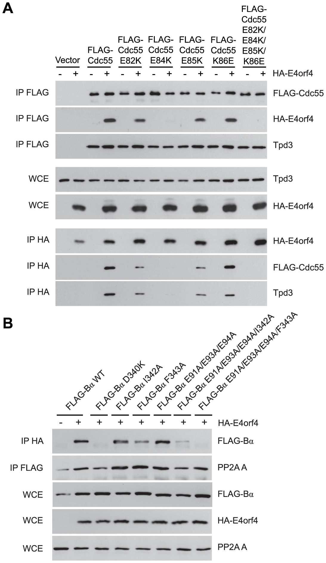 Mutations <i>south</i> of the substrate binding groove also affect E4orf4 association with B55α and Cdc55.