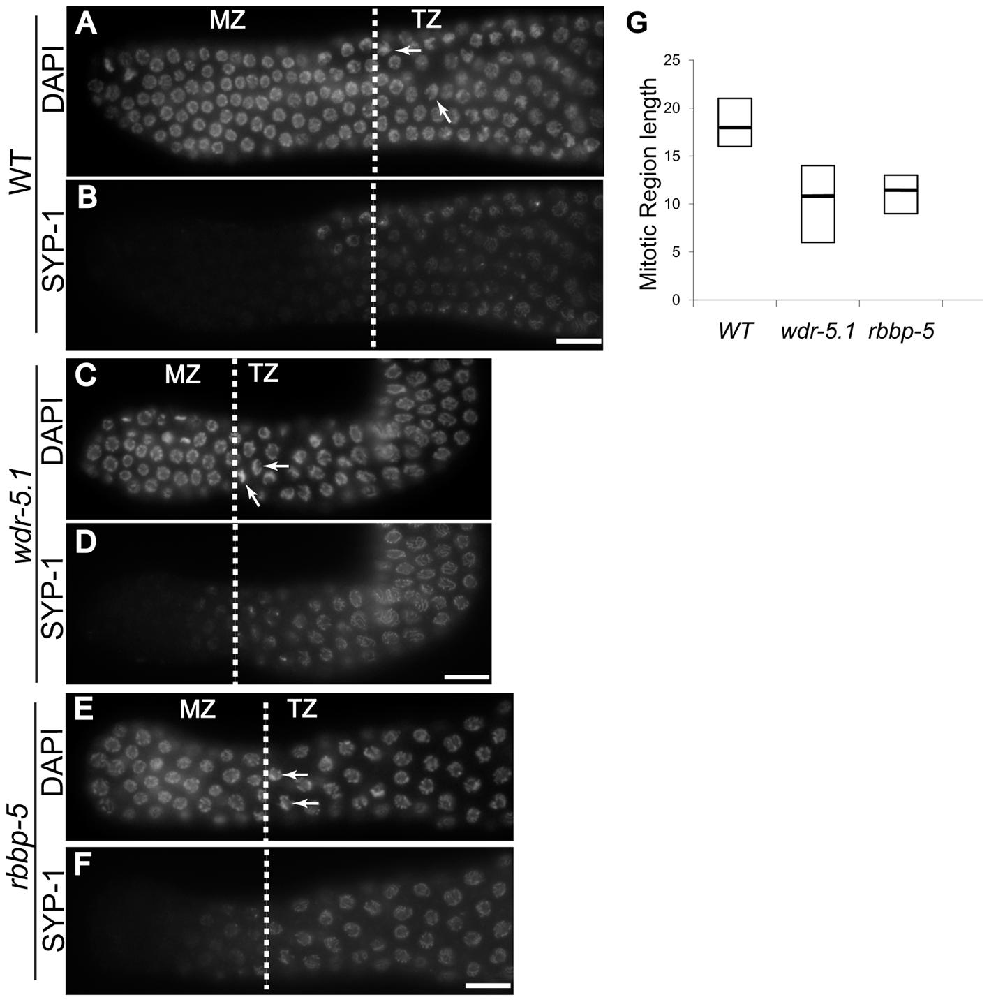 <i>wdr-5.1 and rbbp-5</i> mutants exhibit temperature-sensitive GSC defects.