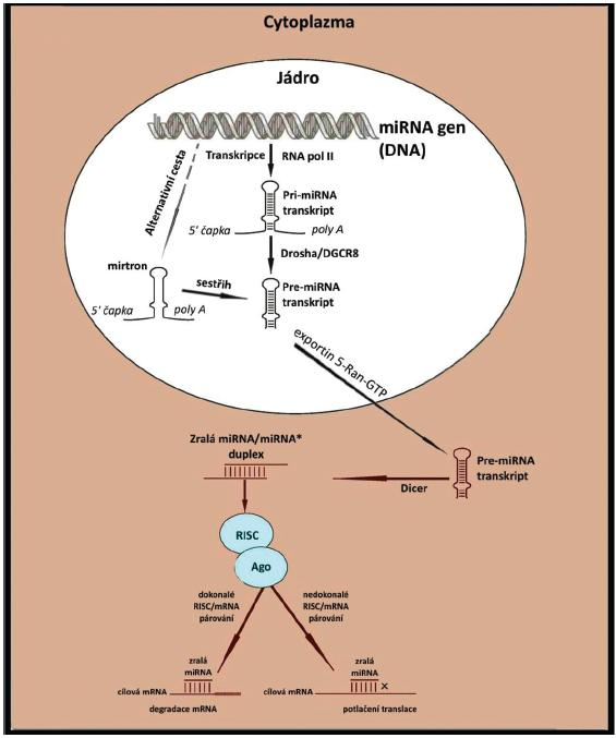 Schéma biogeneze miRNA (upraveno dle Furer et al. (10))