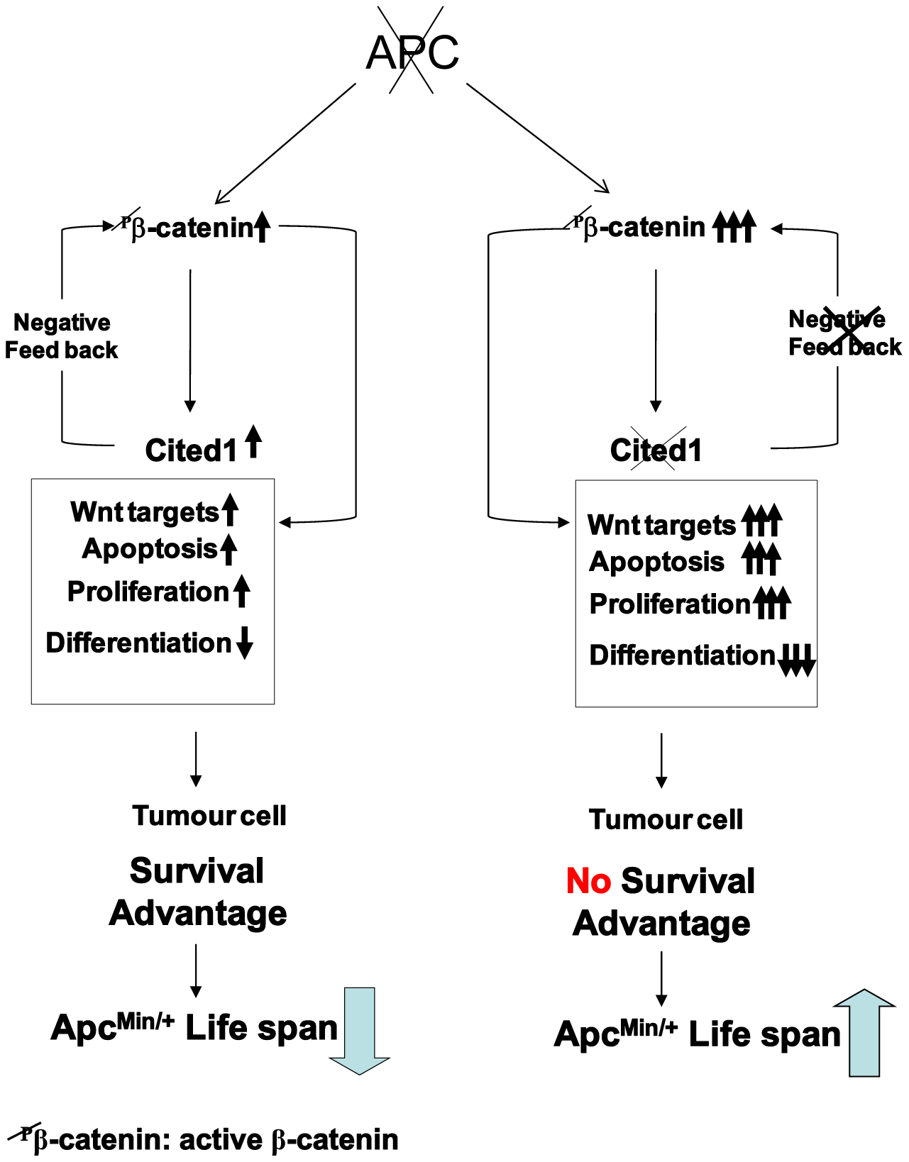 """Schematic diagram of a """"just right"""" model of <i>Cited1</i> action on colorectal tumourigenesis."""