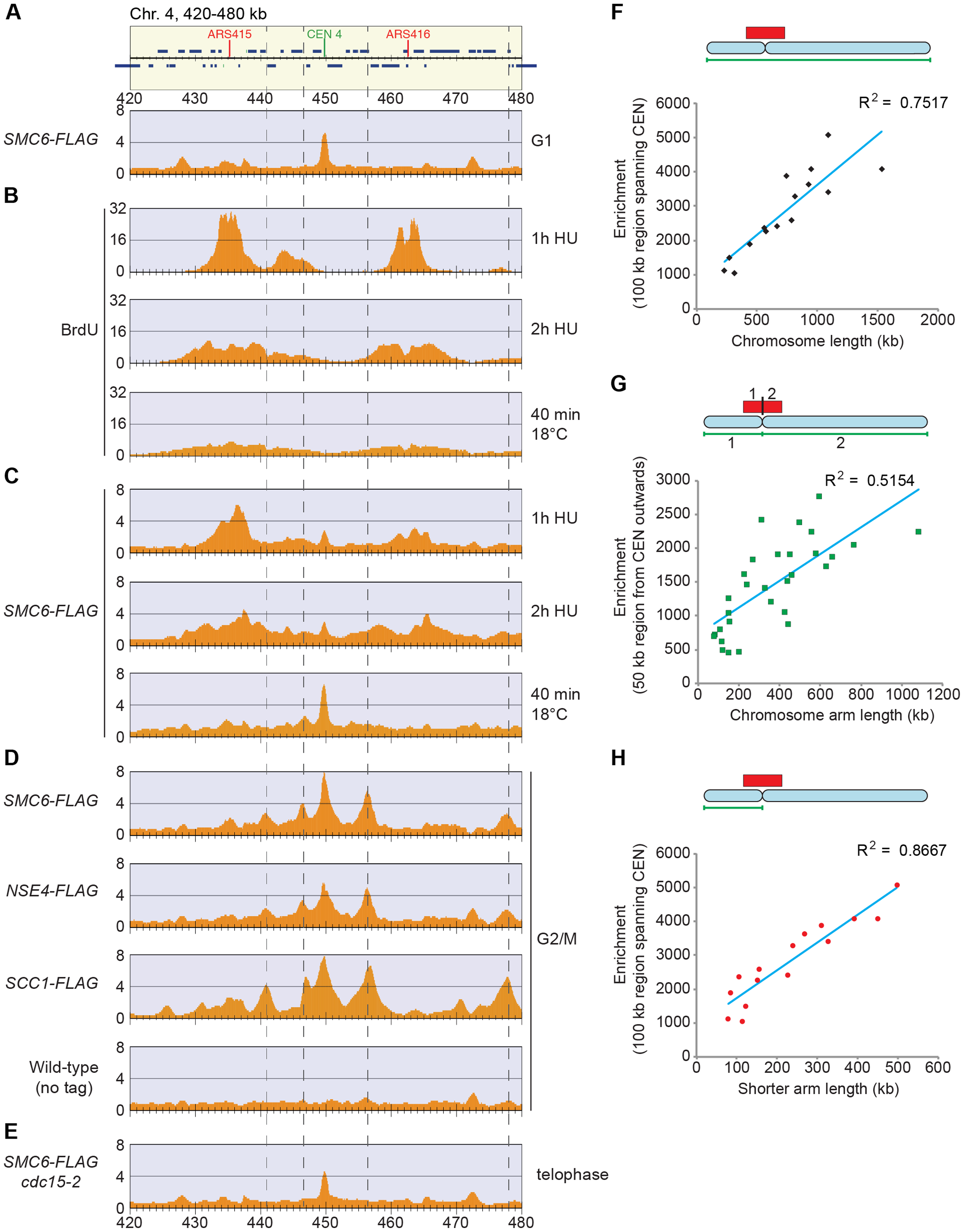 Smc5/6 is enriched on replicated chromosomes in between convergently transcribed genes close to centromeres, and the level of enrichment increases if the centromeres are distant from a chromosome end.