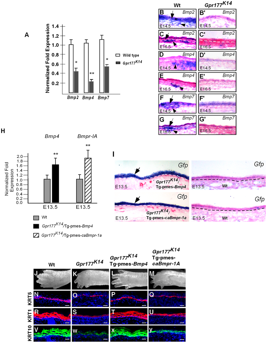 Expression of <i>Bmps</i> requires epidermal Gpr177 and rescue of defective limbs and epidermal stratification in <i>Gpr177<sup>K14</sup></i> mutants by activation of a transgenic <i>Bmp4</i> allele.