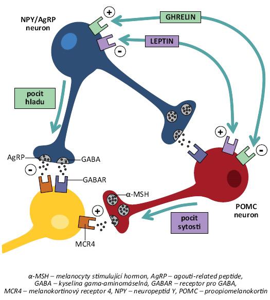 Funkční zapojení melanokortinového systému. Proopiomelanokortinové neurony (POMC) v nucelus arcuatus jsou stimulovány anorexigenními podněty (např. leptinem) a secernují α-MSH (melanocyty-stimulující hormon), který aktivací melanokortinových receptorů MCR4 navozuje pocit sytosti a inhibuje příjem potravy. Naopak neurony exprimující orexigenně působící NPY/AgRP (neuropeptid Y/agouti-related peptide) jsou stimulované orexigenními peptidy (např. ghrelinem). Prostřednictvím AgRp a kyseliny γ-aminomáselné (GABA) inhibují POMC neurony vyvolávající pocit hladu a spouští chování zaměřené na získání jídla. Existuje vzájemné inhibiční působení mezi skupinami neuronů produkujících POMC a NPY/AgRP. POMC i NPY/AgRP neurony obvykle projikují do stejných oblastí, takže výsledný účinek na příjem potravy je dán poměrem aktivace MCR4 pomocí α-MSH, resp. inhibice prostřednictvím AgRP [39].