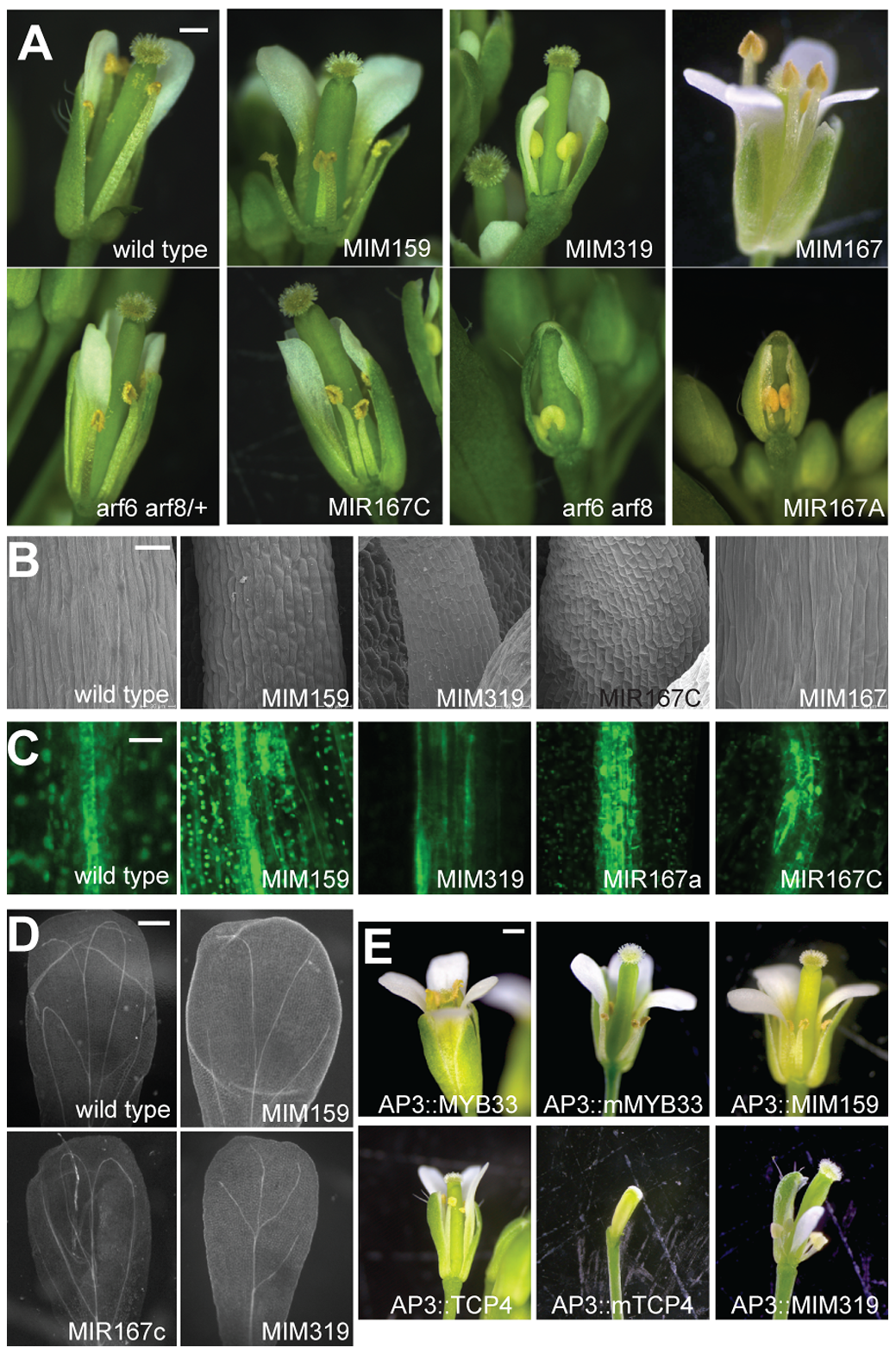 Effects of miR159, miR167, and miR319 on flower morphology.