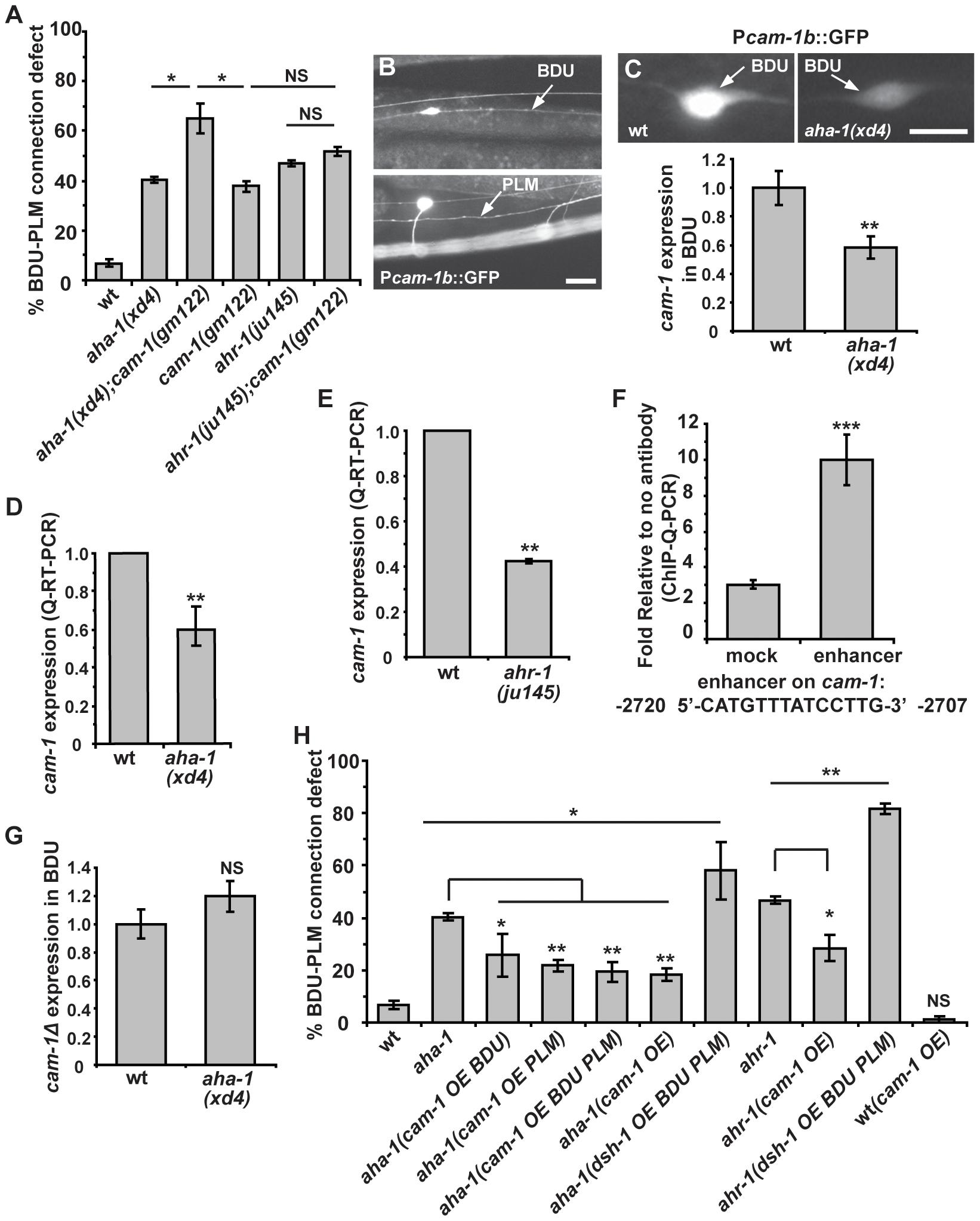 <i>aha-1</i> directly regulates <i>cam-1</i> gene expression.