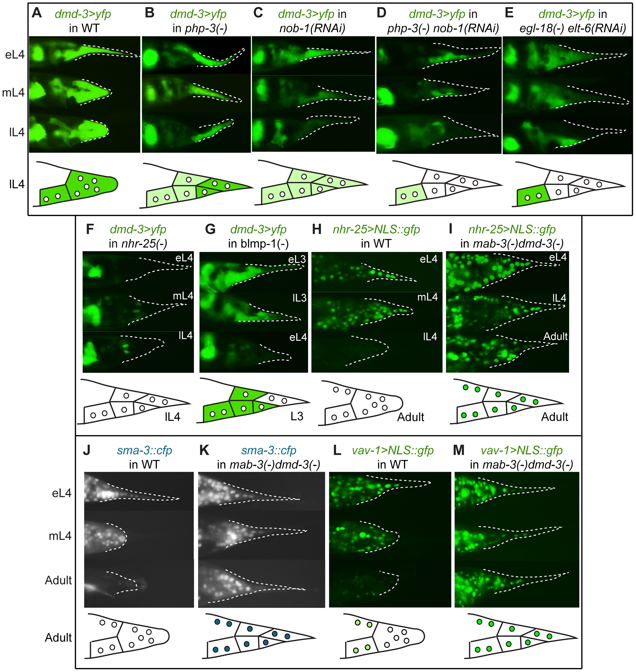 Expression epistasis experiments to test interactions between key regulatory genes.