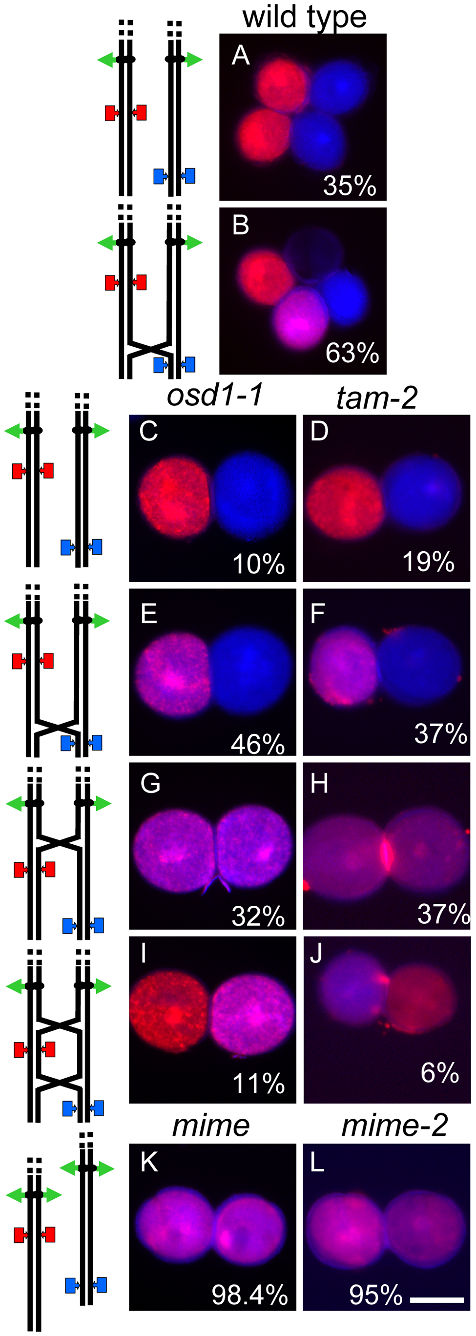 Two-locus (FTL1273 red, FTL993 blue) segregation pattern in pollen.
