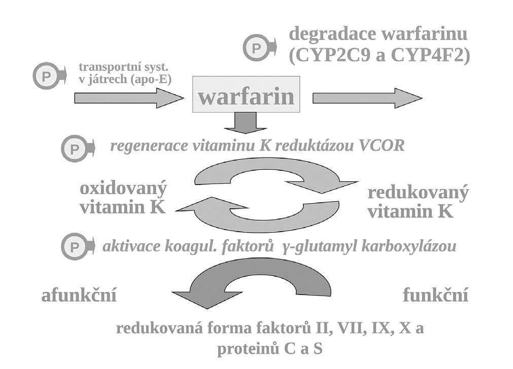 """Aktivace koagulačních faktorů vitaminem K, místo blokády reduktázy vitamin K (VKOR) warfarinem, transport vitaminu K a warfarinu v játrech a biodegradace izoenzymy CYP – místa s polymorfismy ovlivňujícími účinek warfarinu označena """"P"""""""