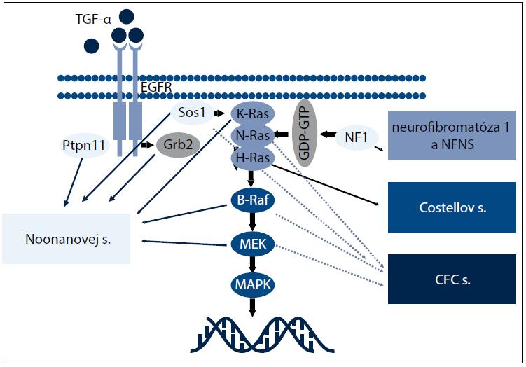 RAS-MAPK signálna dráha ochorení z neuro-kardio-facio-kutánneho spektra.