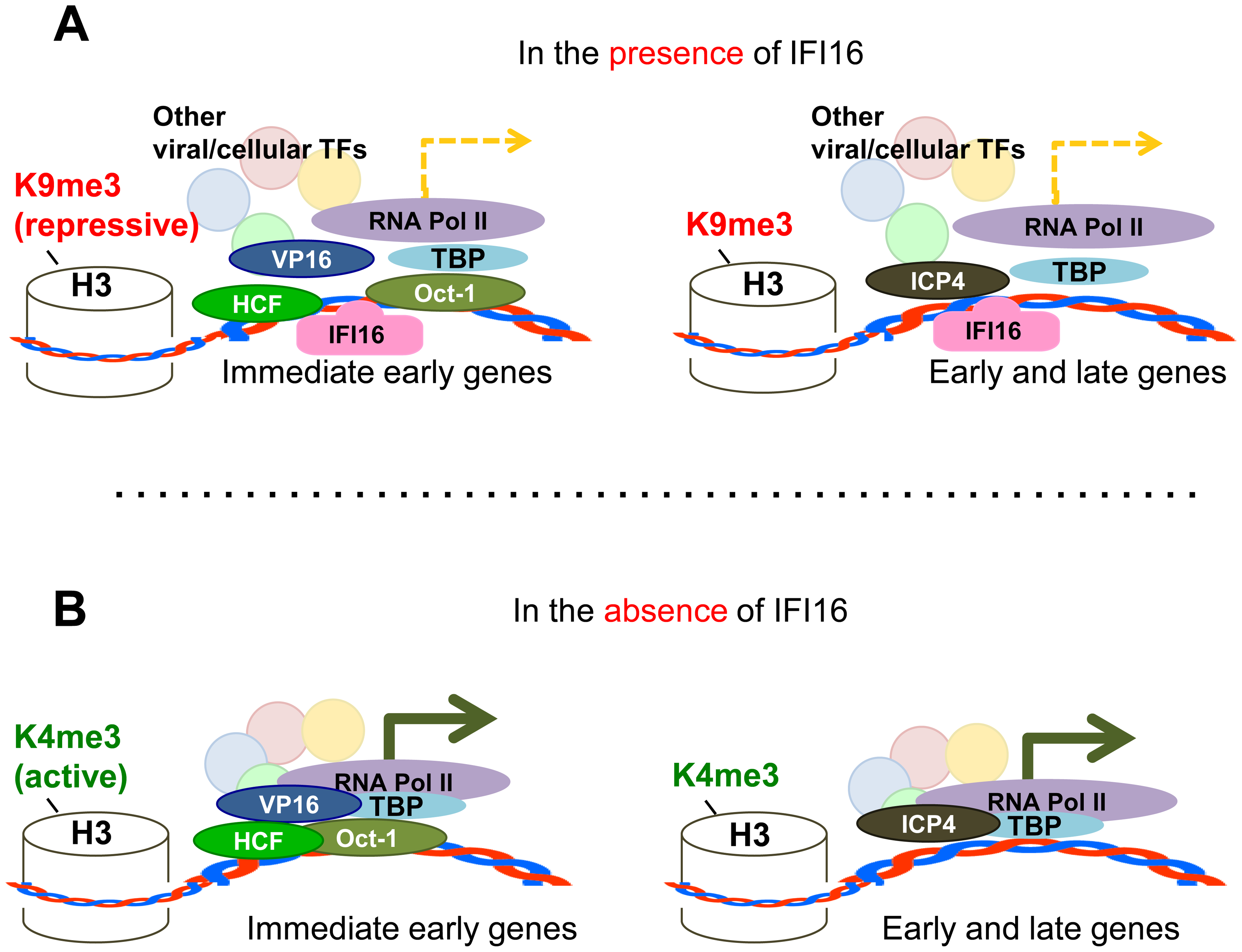 Schematic model: IFI16 inhibits HSV-1 gene expression by modulating histone modifications and binding to HSV-1 promoters, specifically preventing or decreasing the association of transcription factors at viral promoters.