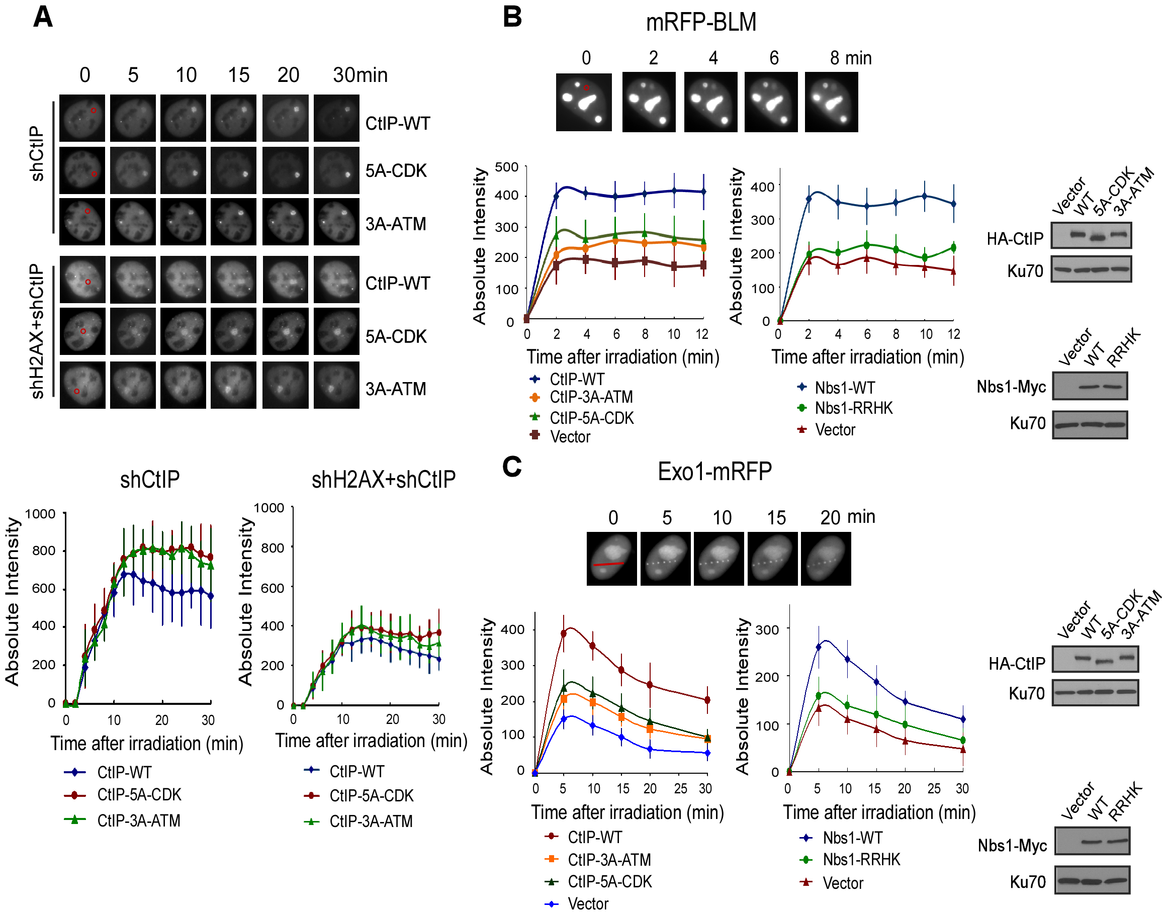 ATM-mediated phosphorylation of CtIP promotes the recruitment of BLM and Exo1 to laser-induced DSBs.