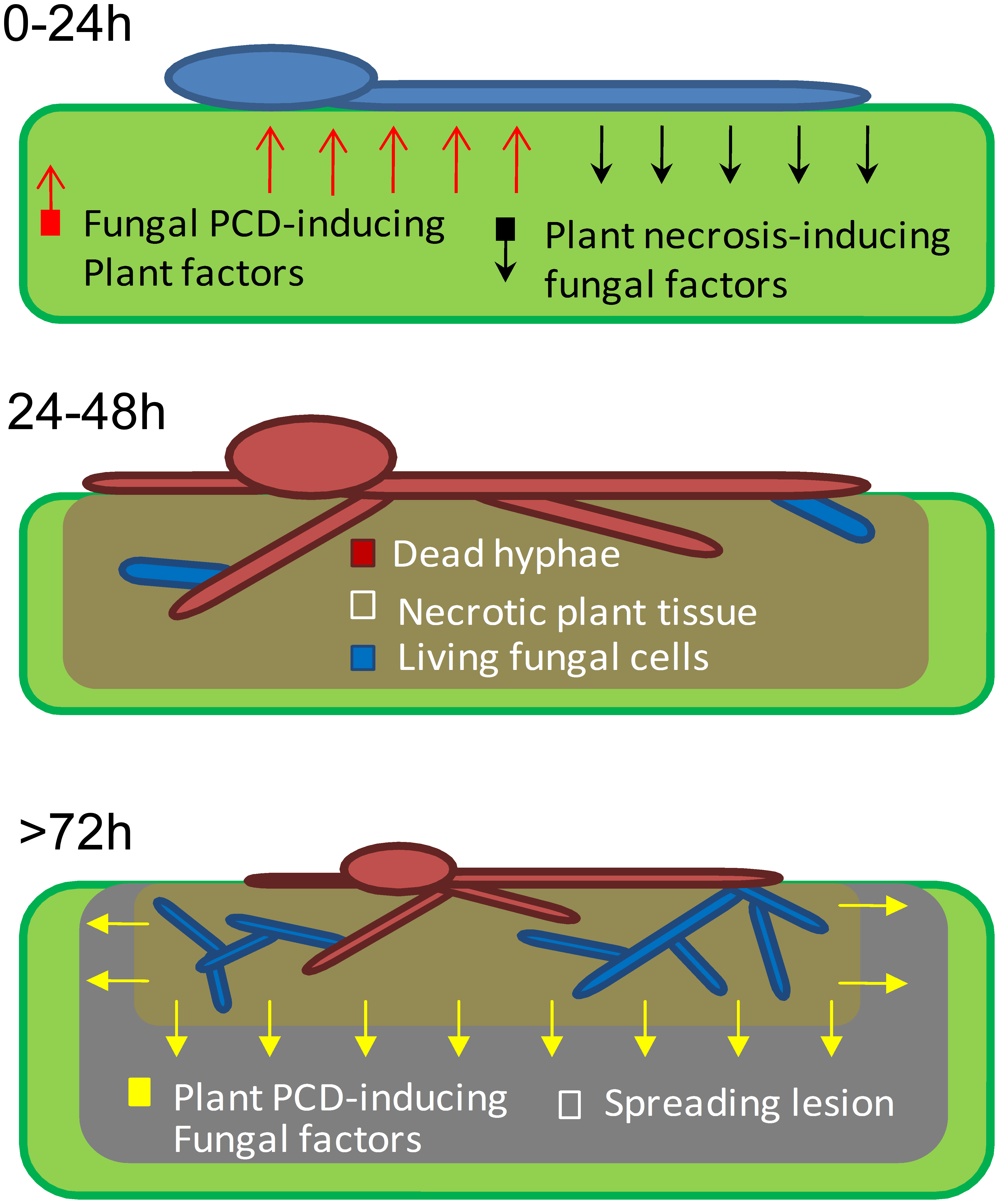 A model showing the role of PCD in early events of <i>B. cinerea</i> infection.