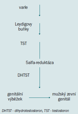 Schéma 5. Somatická diferenciace mužského pohlaví pomocí pohlavních hormonů.