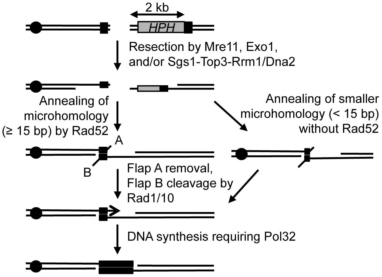 Proposed mechanism for repair of a DSB using microhomology.