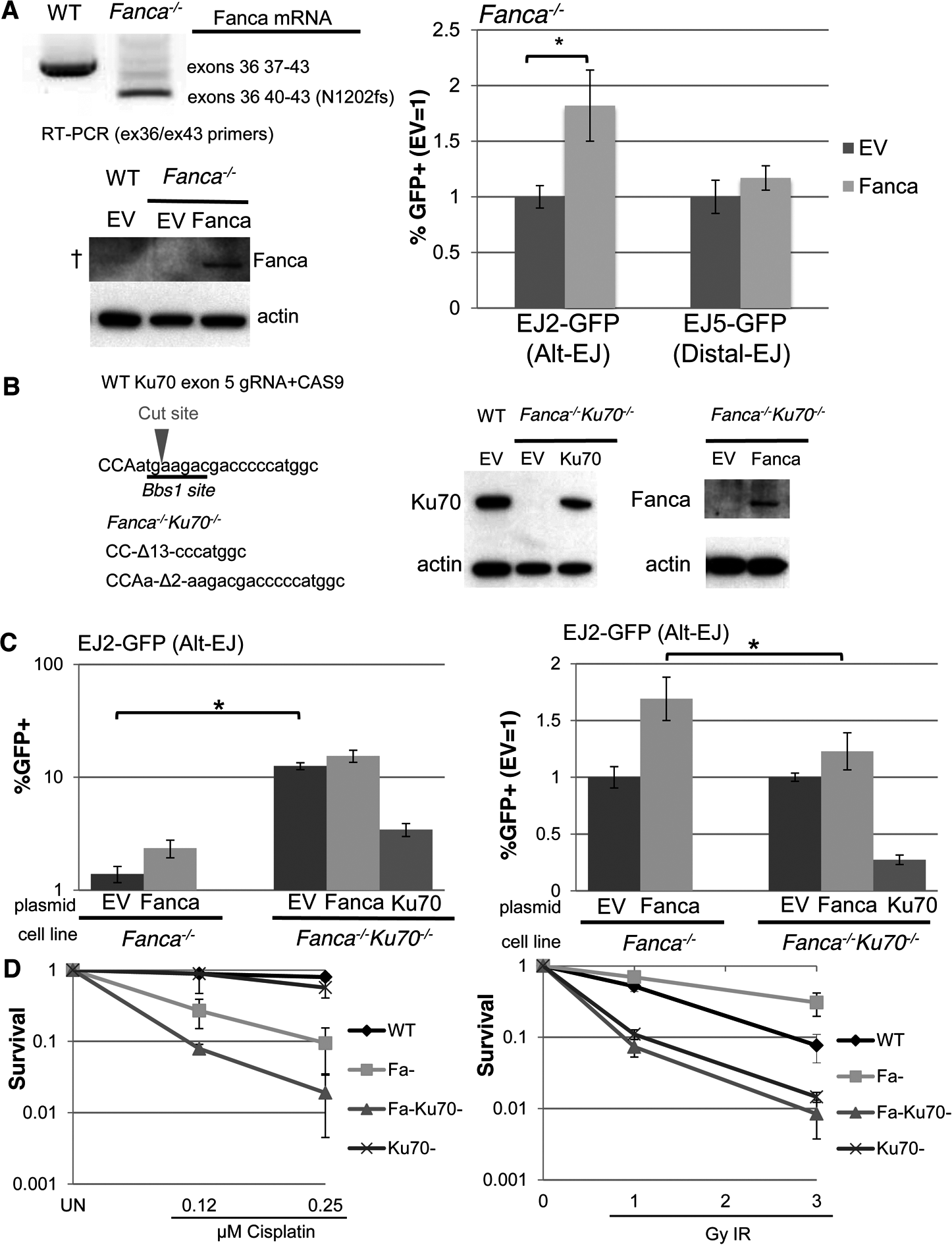 Loss of Ku70 can diminish the influence of Fanca on Alt-EJ, but not cisplatin sensitivity.