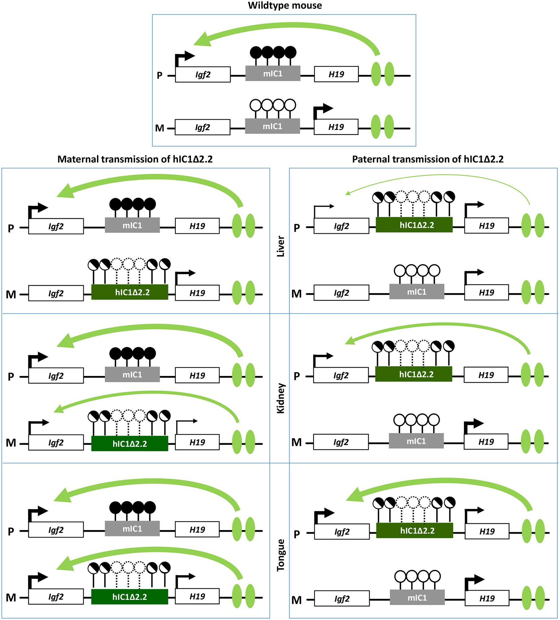 Diagram summarizing the tissue-specific imprinting defects of the <i>H19</i><sup><i>hIC1</i>Δ<i>2</i>.<i>2</i></sup> mice.