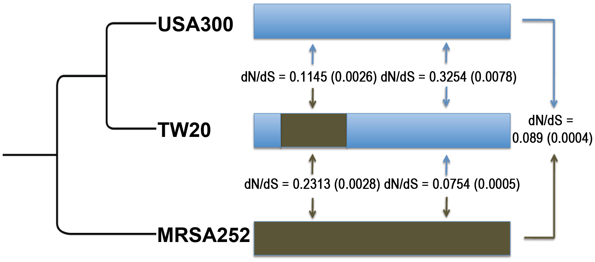 Mean dN/dS values are shown (with standard errors in parentheses) between <i>S. aureus</i> ST239 (TW20) and <i>S. aureus</i> USA300 (USA300), and between TW20 and <i>S. aureus</i> MRSA252 (MRSA252).