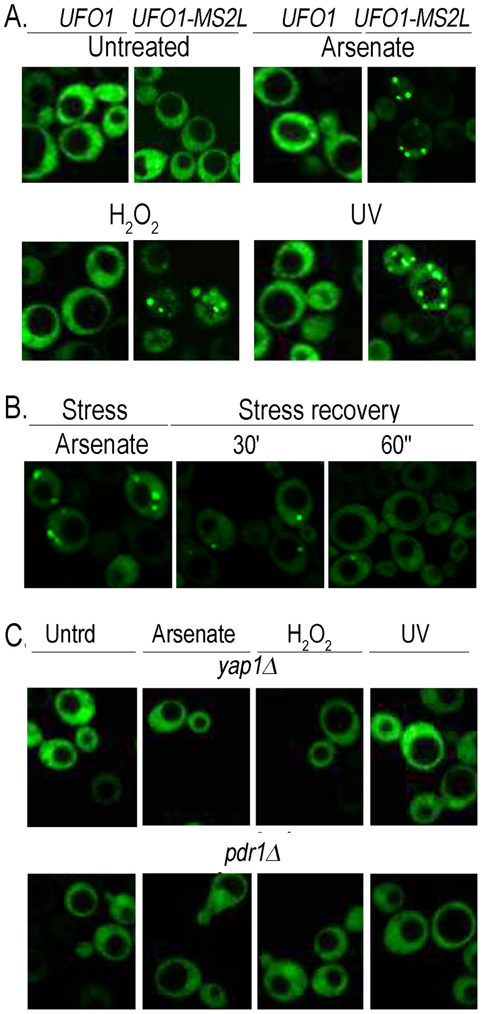 Stress-induced granules appear only in <i>UFO1-MS2L</i> stressed cells.