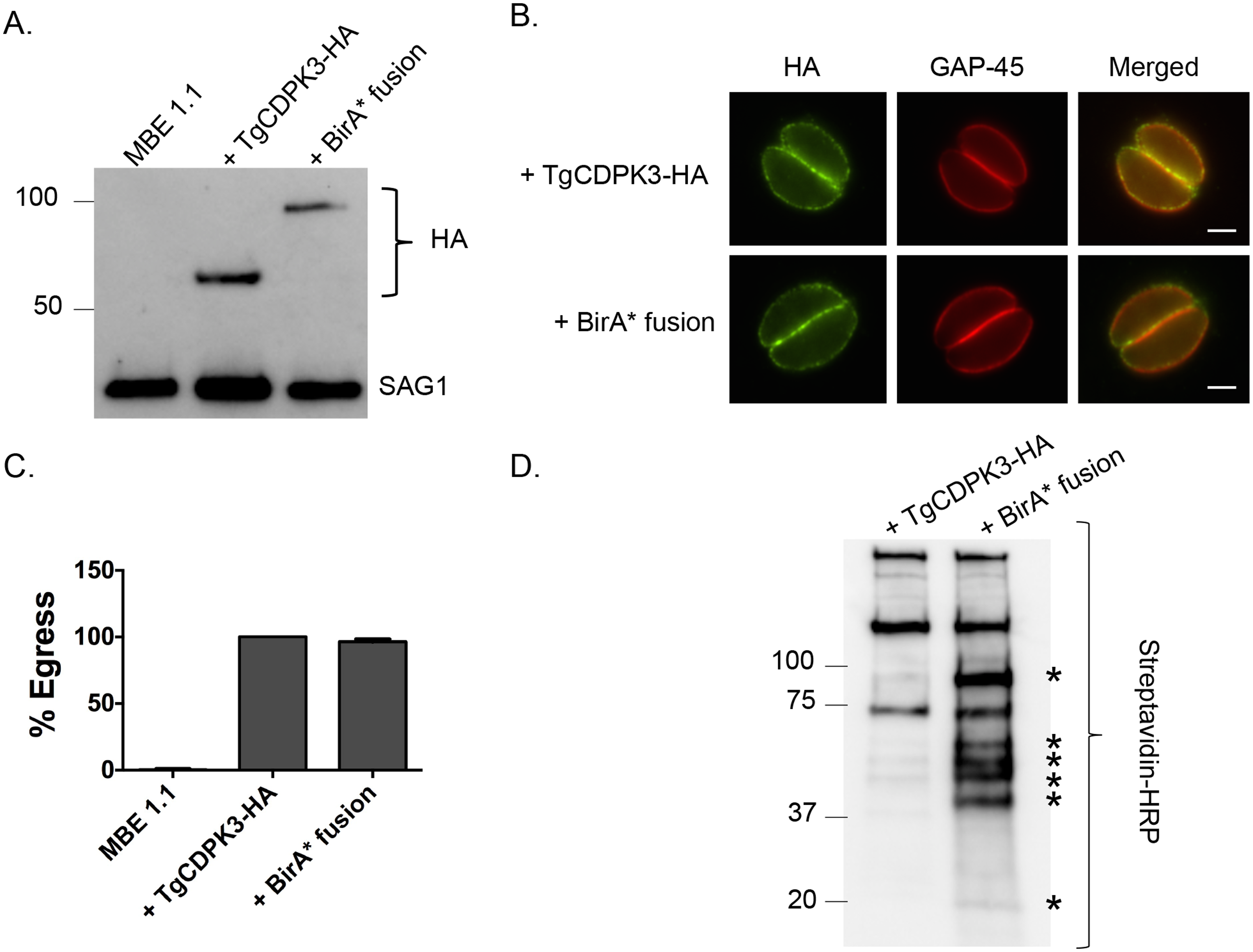 TgCDPK3-BirA* fusion protein is targeted to the plasma membrane and is functional.