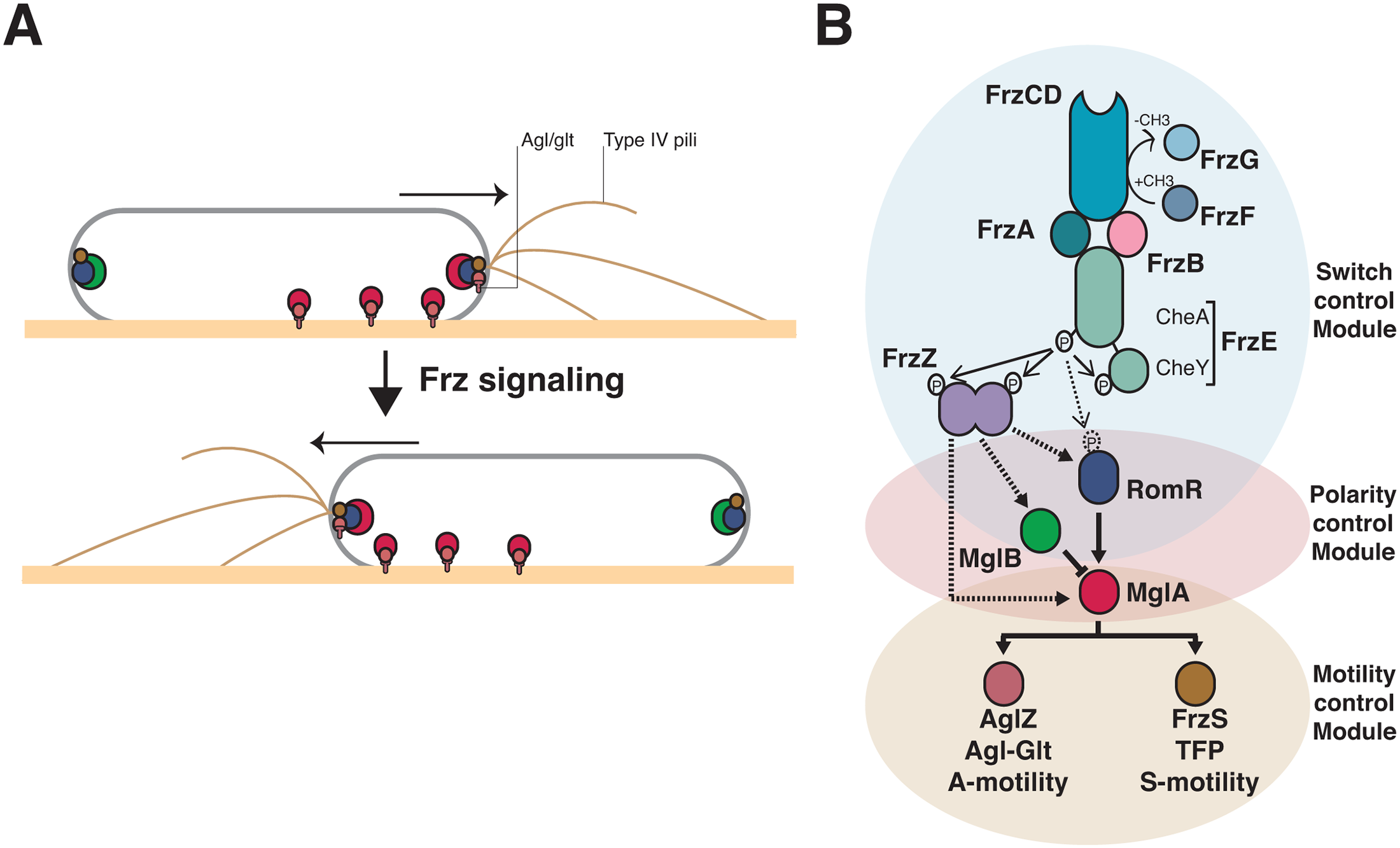 Genetic control of the <i>Myxococcus</i> A- and S-motility machineries.