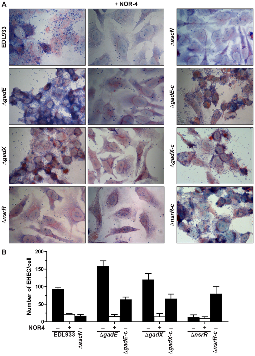 Regulation of adhesion of EDL933 to human epithelial cells.