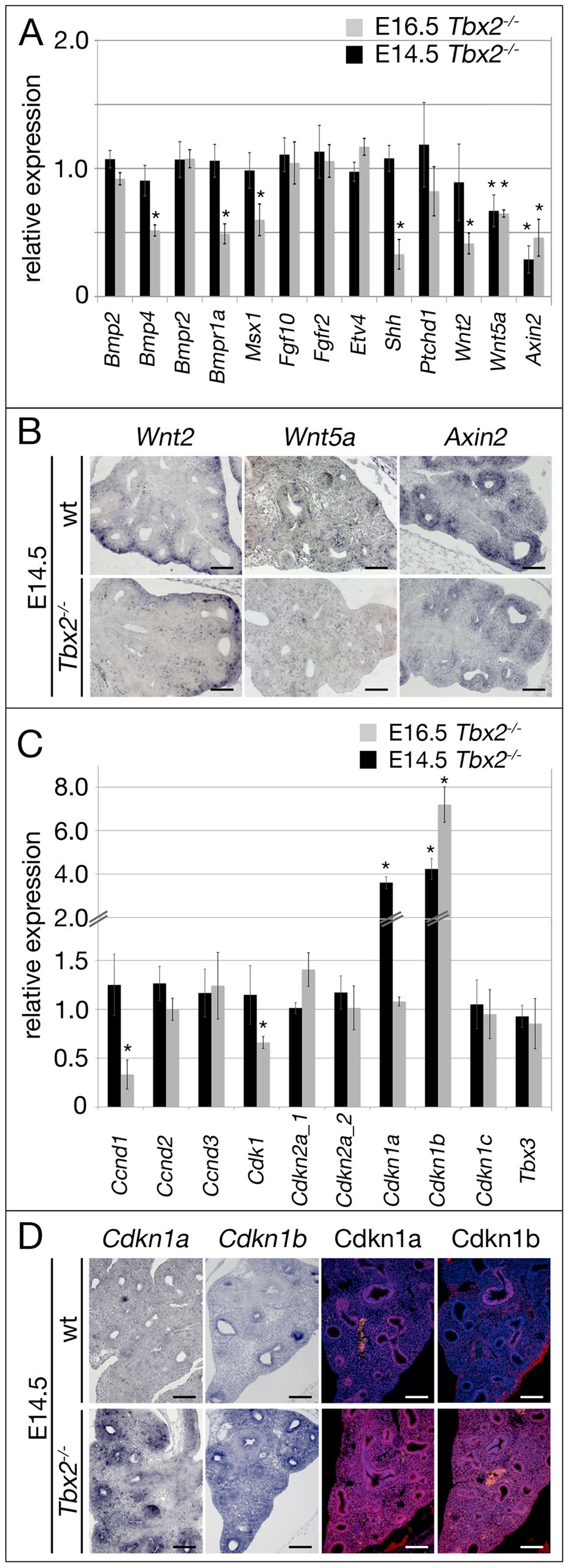 Derepression of genes encoding cell cycle inhibitors precedes proliferation and differentiation defects in the <i>Tbx2</i>-deficient lung mesenchyme.