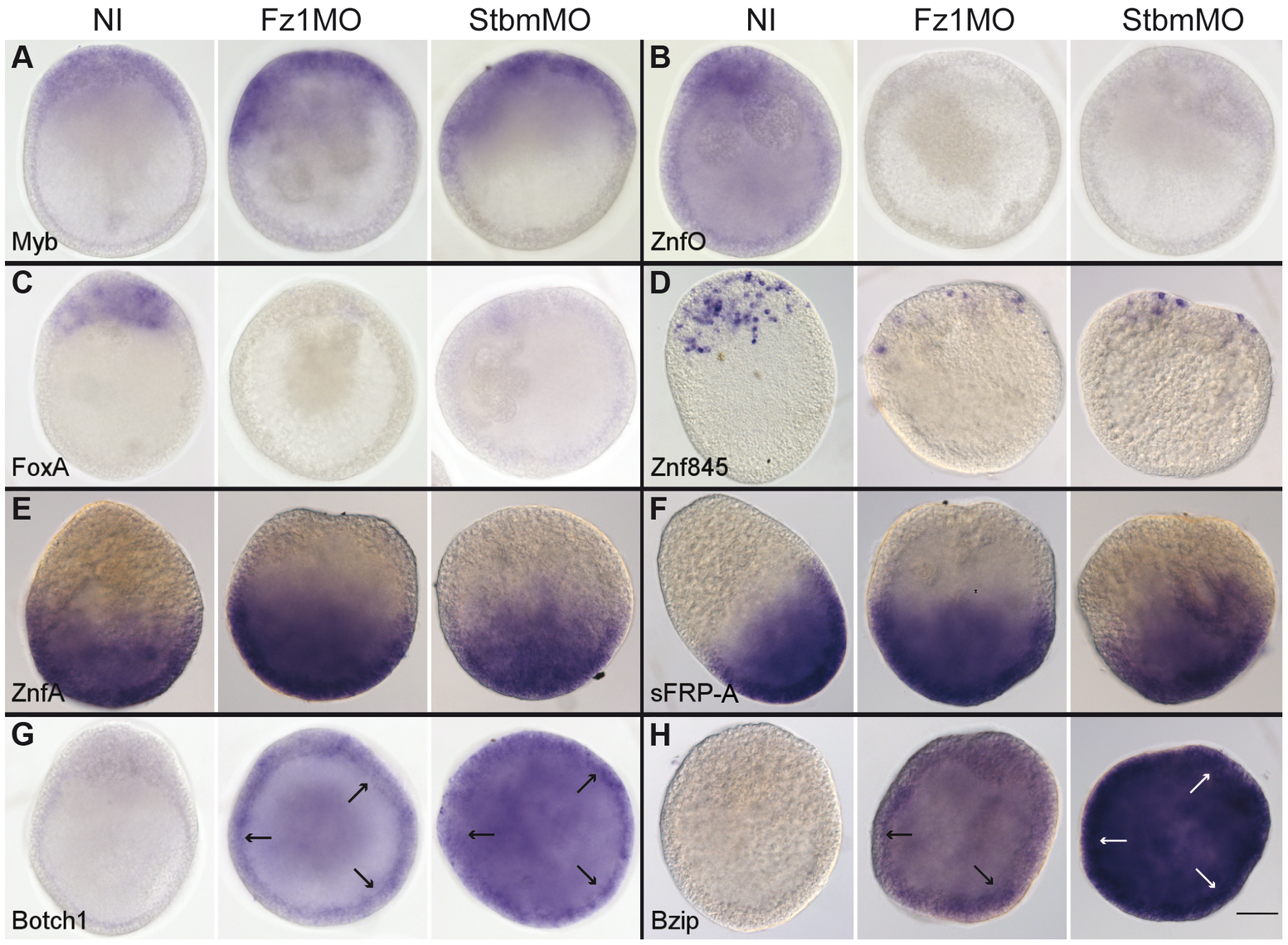 Fz1-MO and Stbm-MO have very similar effects on gene expression profiles.