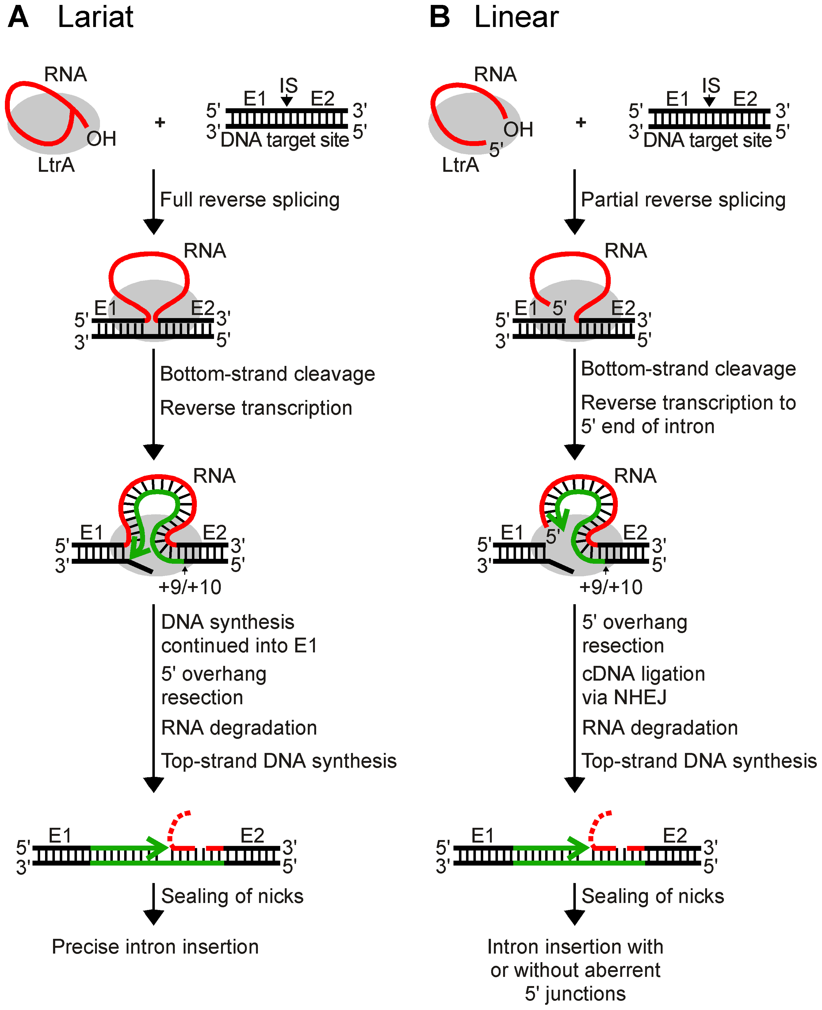 Models for retrohoming of Ll.LtrB group II intron lariat and linear RNAs.