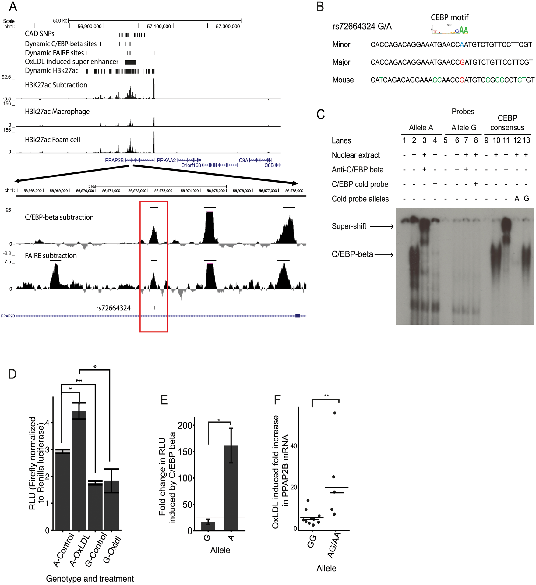 An intronic SNP at the <i>PPAP2B</i> locus regulates enhancer activity and oxLDL-induced expression of <i>PPAP2B</i>.