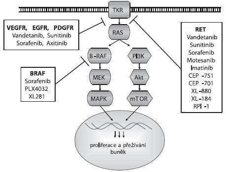 Působení inhibitorů na signální dráhu