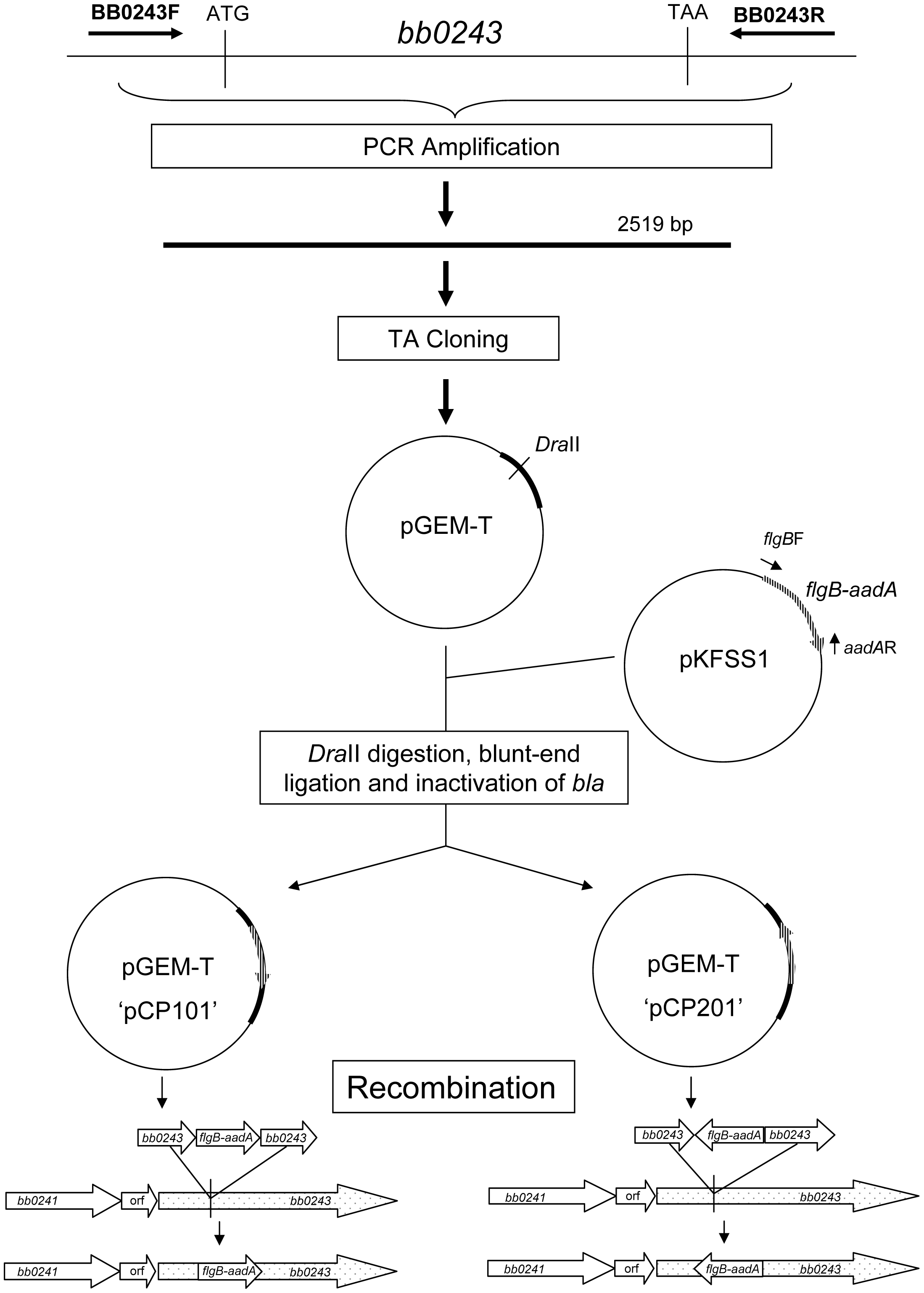 Strategy for generation of <i>glpD</i> disruption mutants.