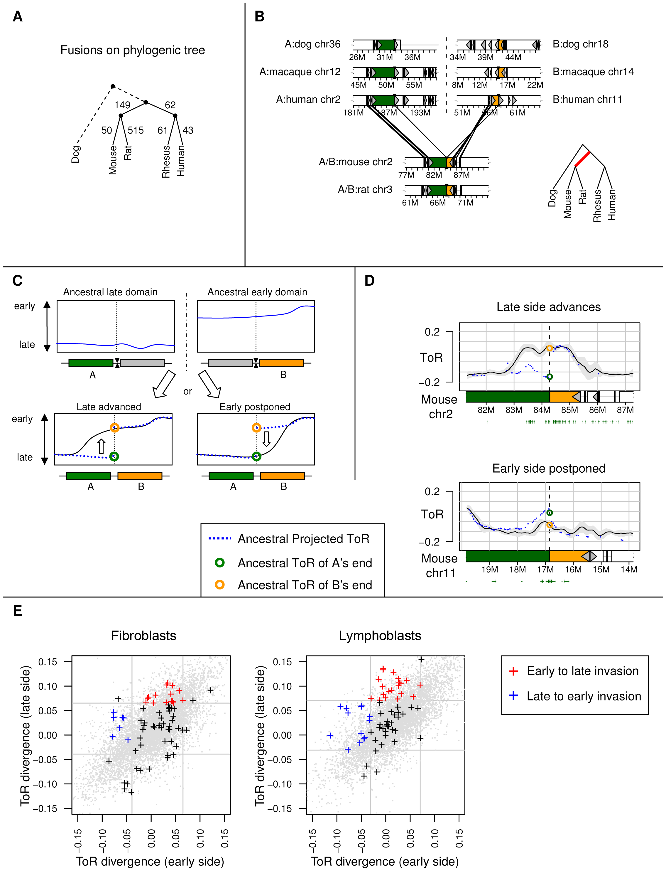 ToR divergence at genome rearrangement sites.