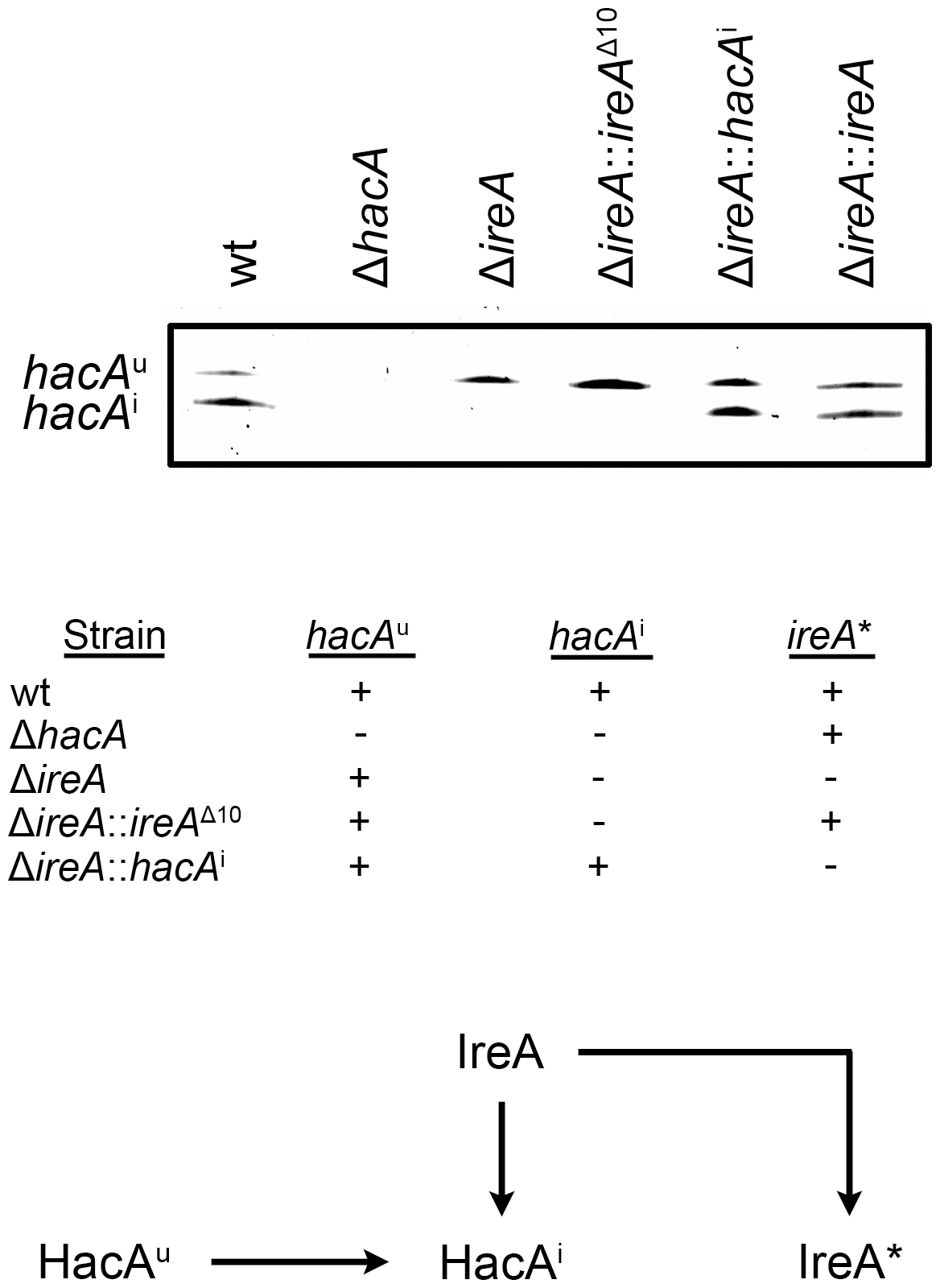 Analysis of <i>hacA</i> mRNA splicing in <i>hacA</i> and <i>ireA</i>-deficient mutants.