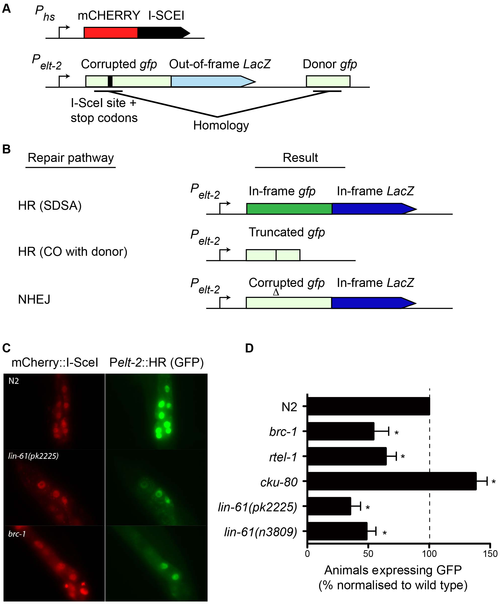 A novel GFP-based HR reporter system shows LIN-61 is needed for HR in somatic cells.